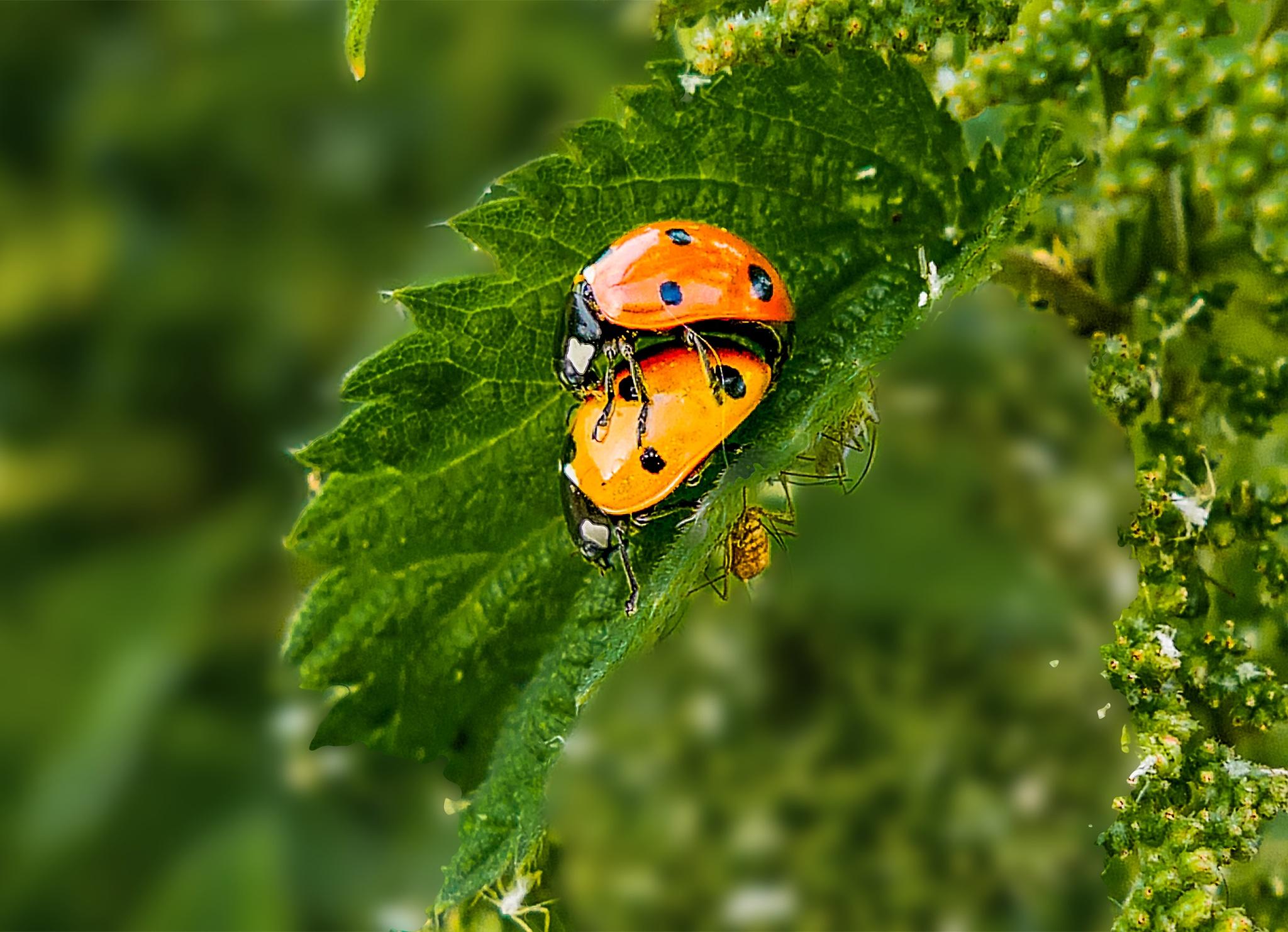 Bugs# Beetle-# Bugslove# Ladybugs# Conccinellidae by bindue
