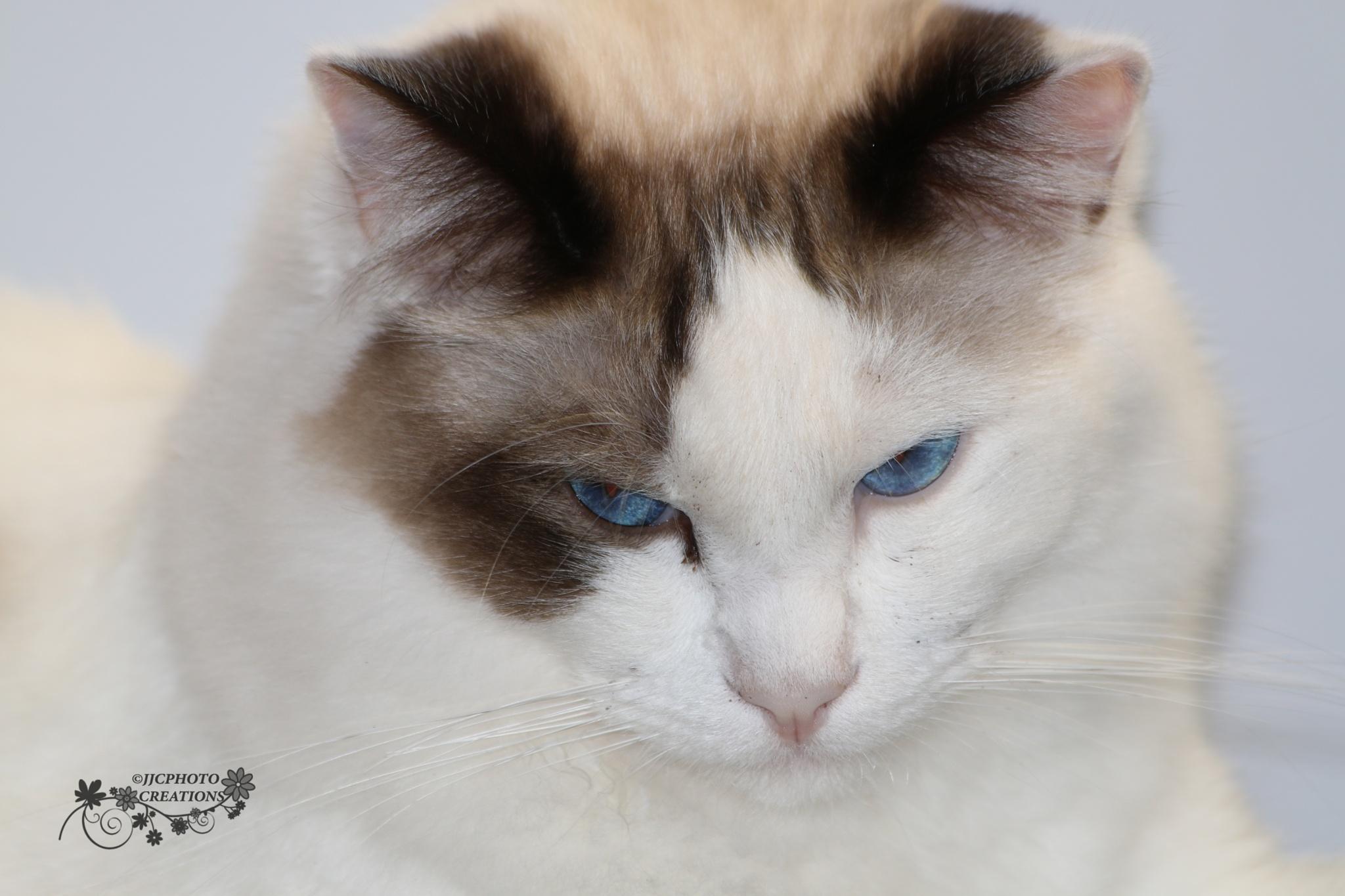 Beautiful Ragdoll Koko by LeanneT