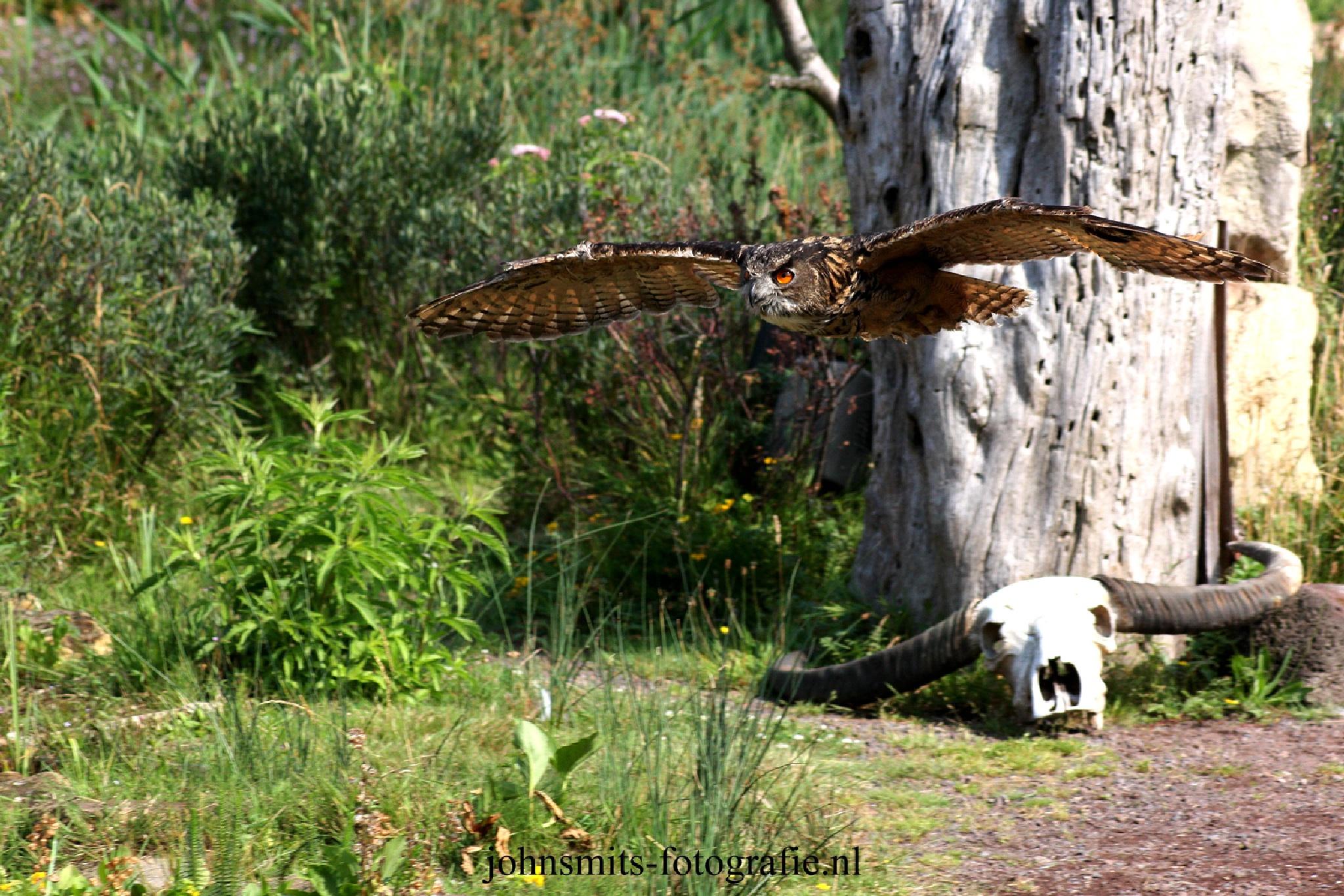 Owl in flight by johnsmitsfotografie