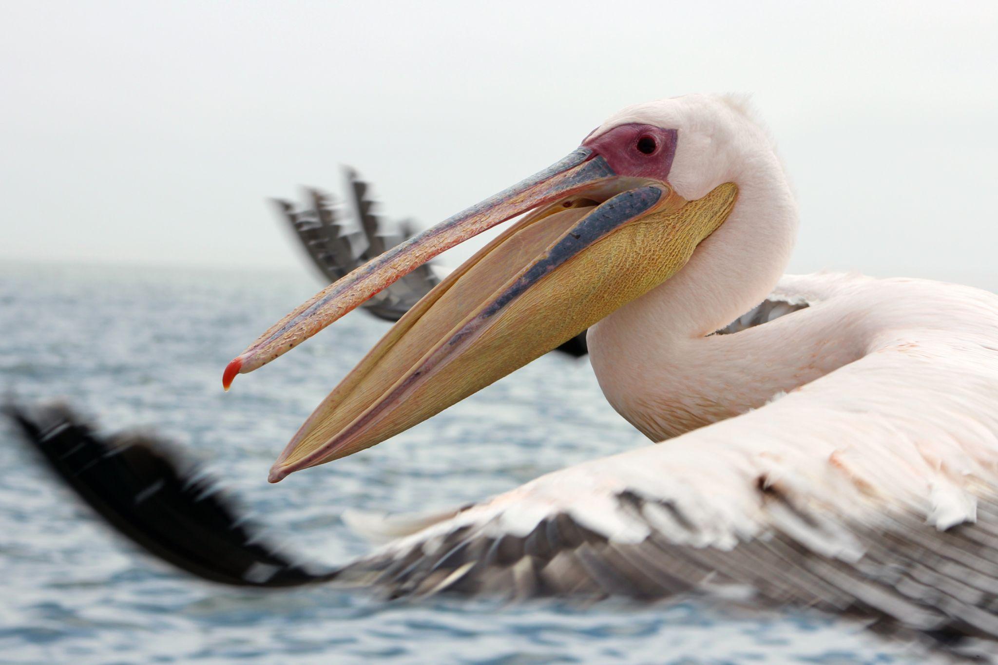 Pelican Chase by Jo-Ann de Smit