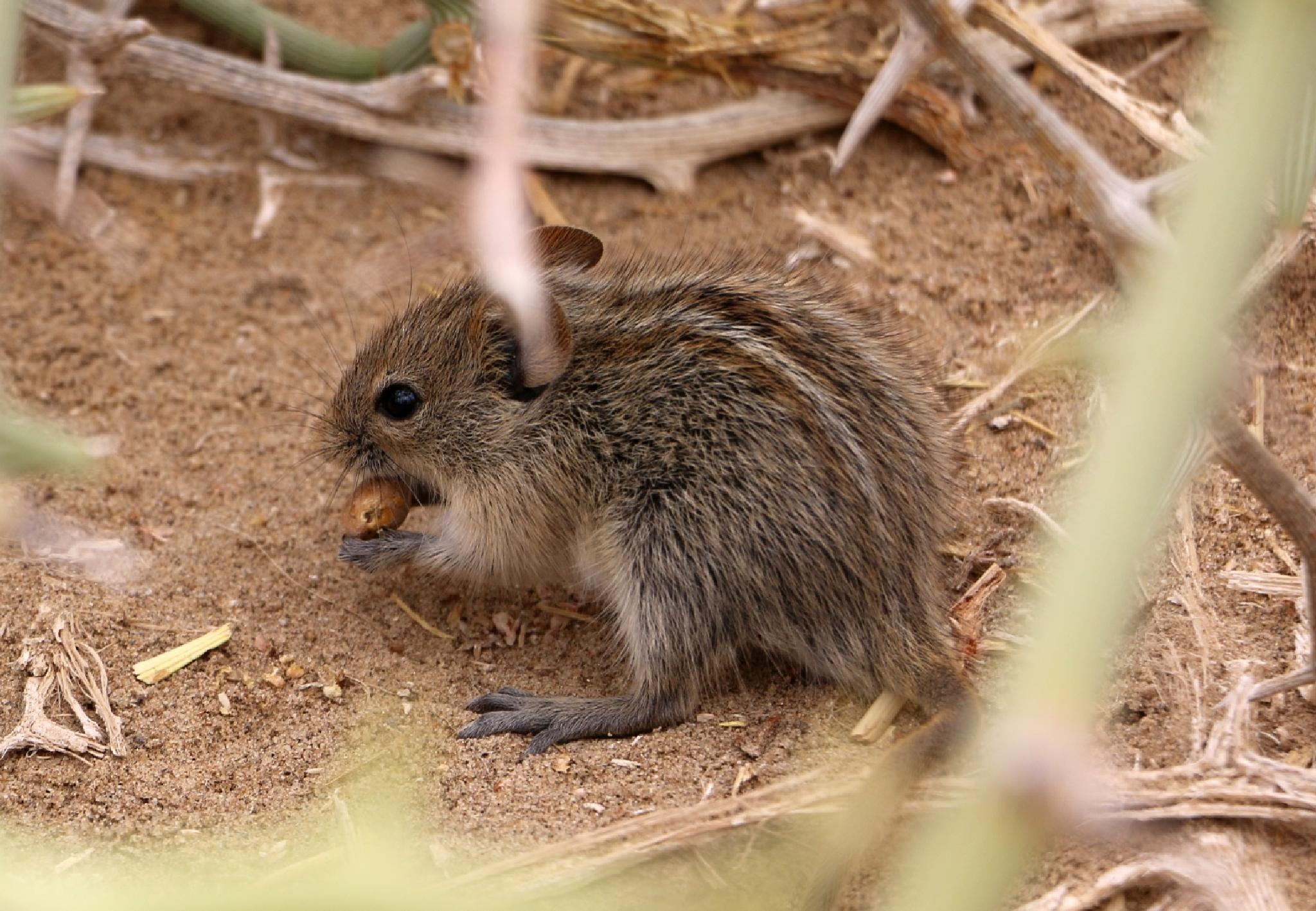 Single-striped Mouse (Lemniscomys rosalia) Namib Desert by Jo-Ann de Smit