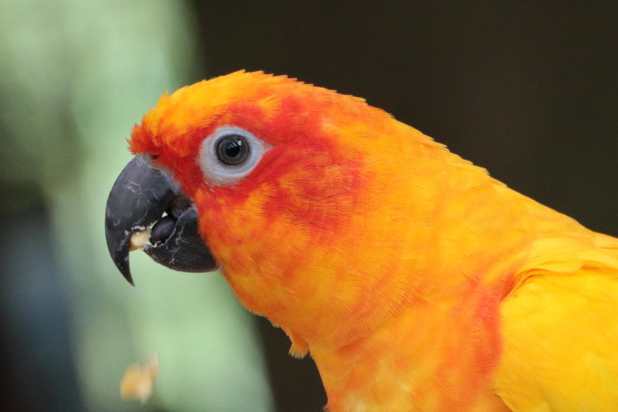 Orange and Yellow Parrot up close by Jo-Ann de Smit