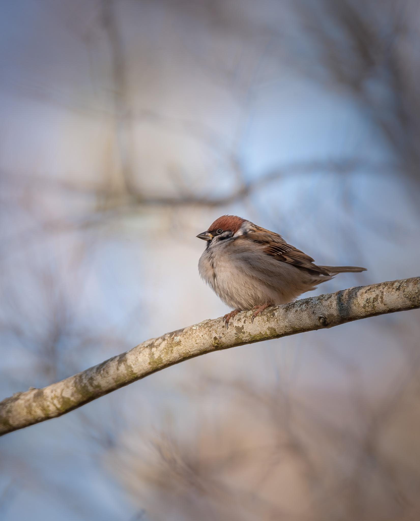 Eurasian tree sparrow by anne-b
