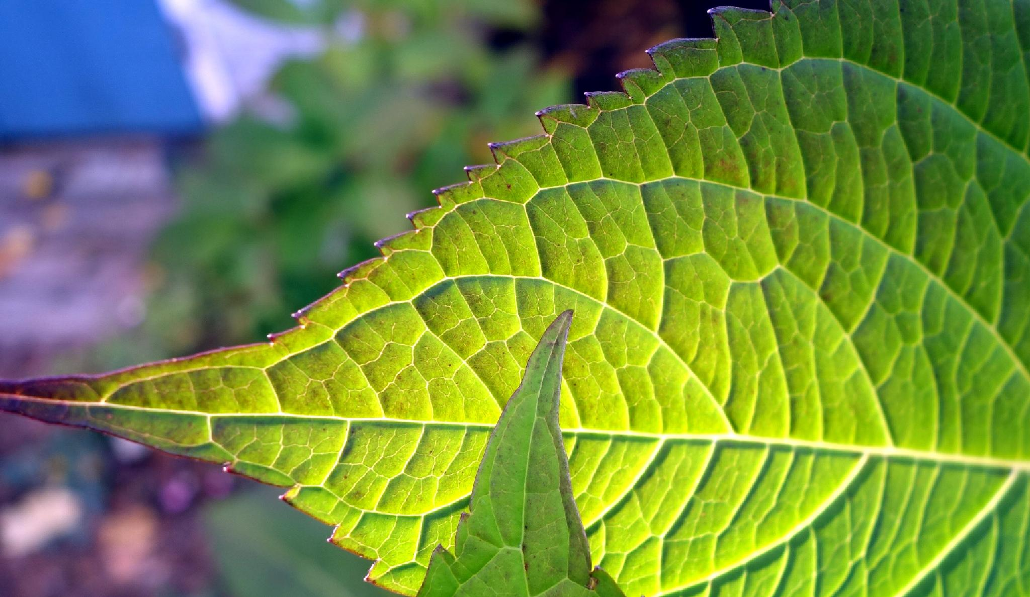 Photo in Nature #hydrangea leaves #backlit #leaves #green