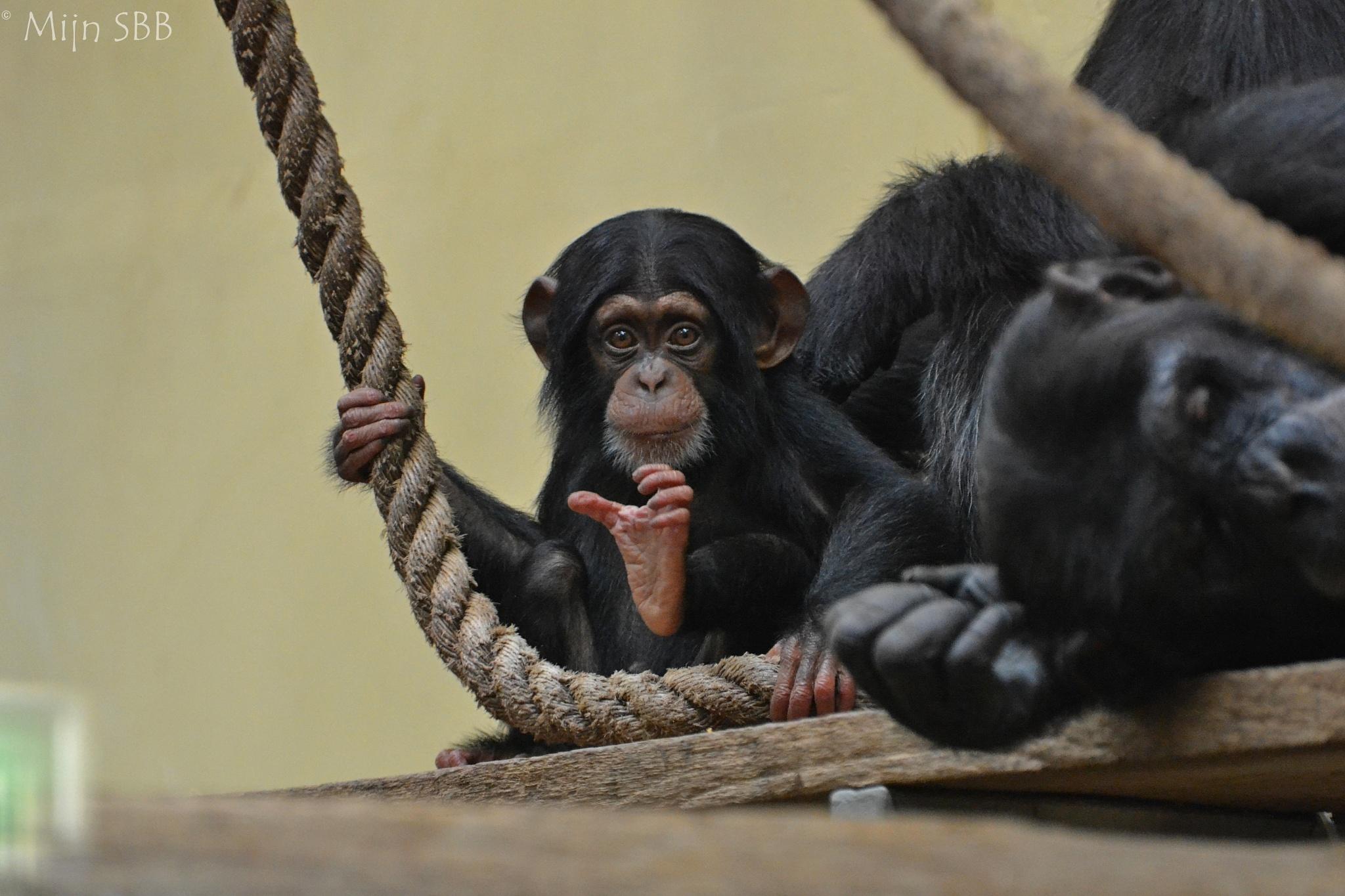 Jonge Chimpansee by Oortinstijl