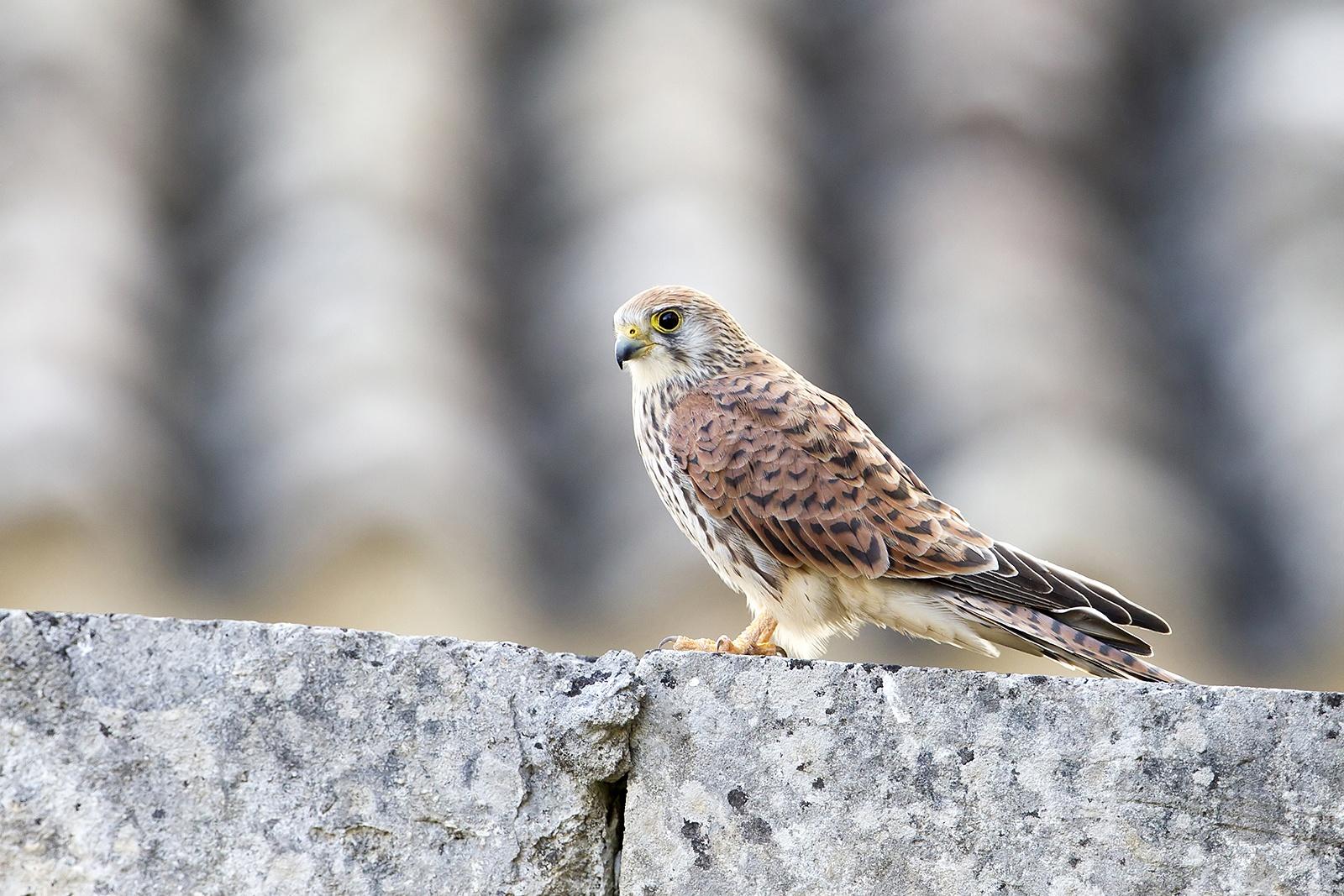 Grillaio - Falco naumanni - Lesser kestrel ♀ by luca26