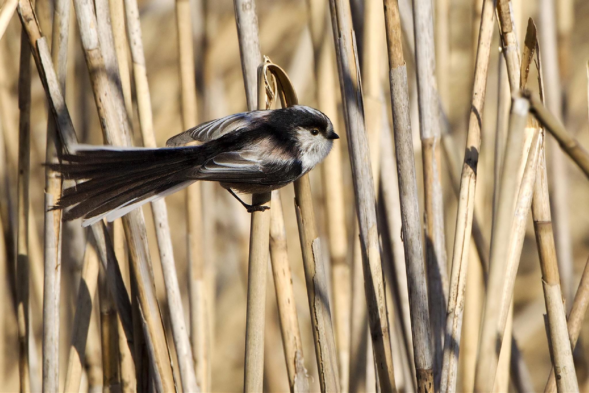 Codibùgnolo -  Aegithalos caudatus - Long tailed tit by luca26