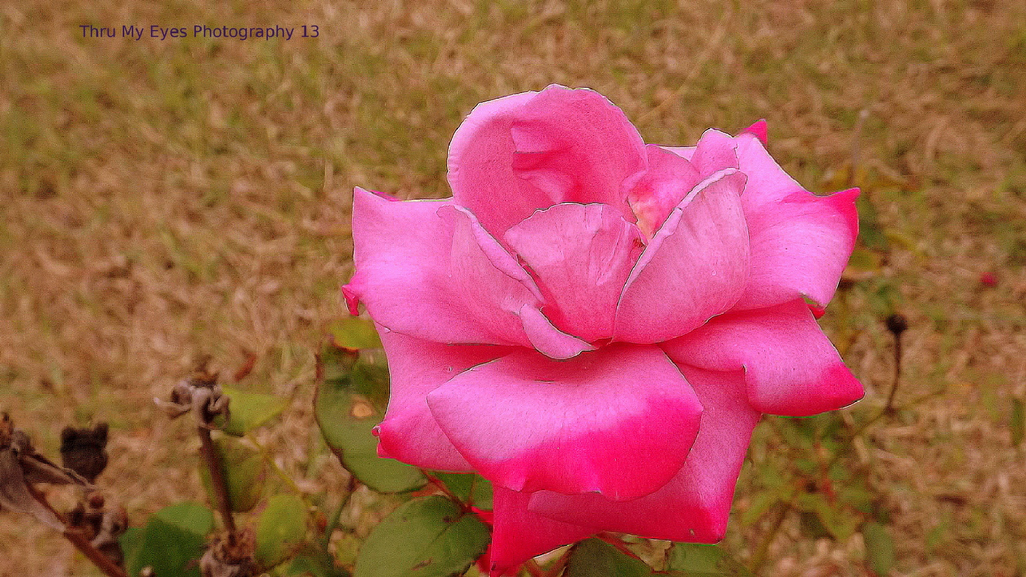 The Pink Lady by captain