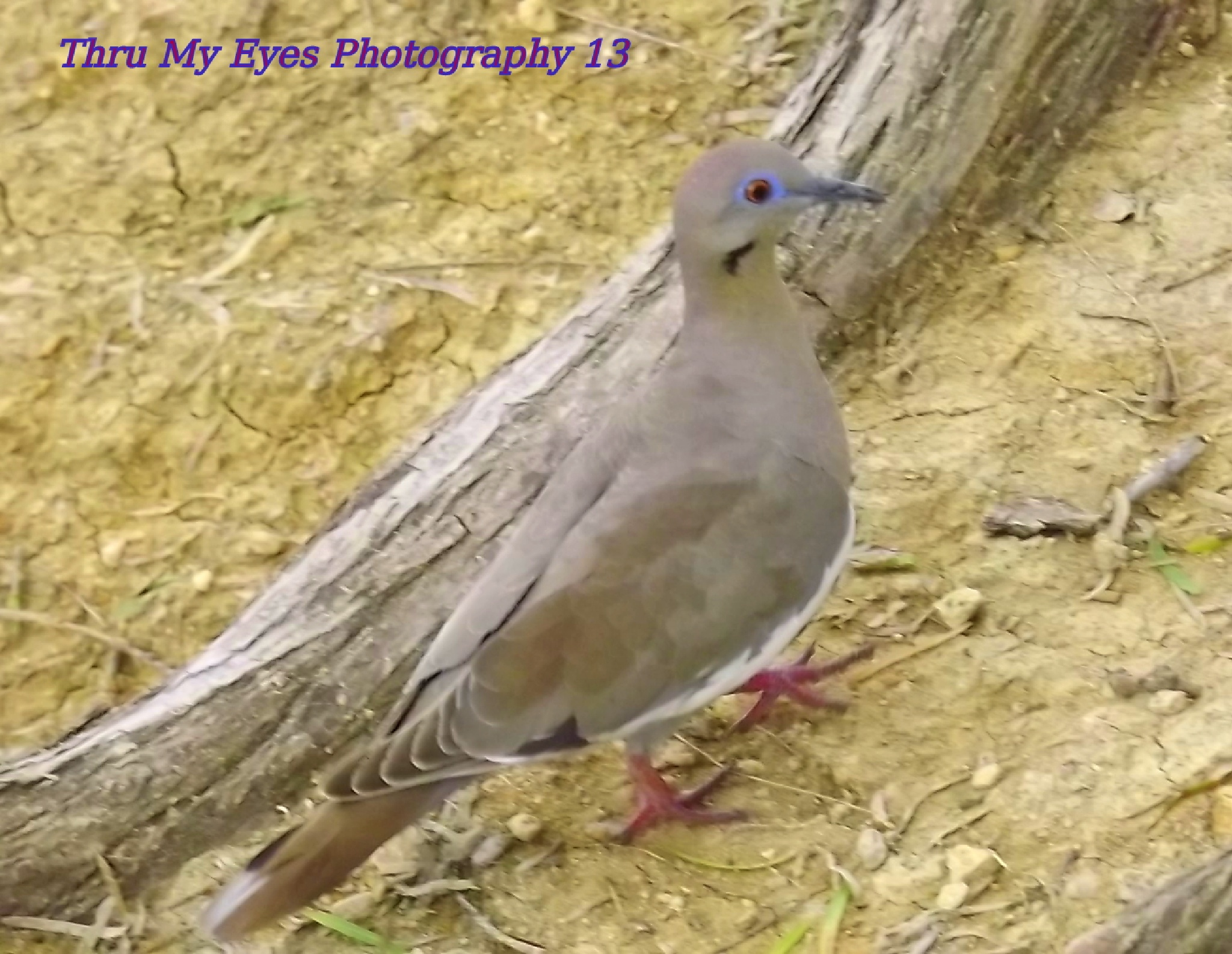 Morning Dove by captain