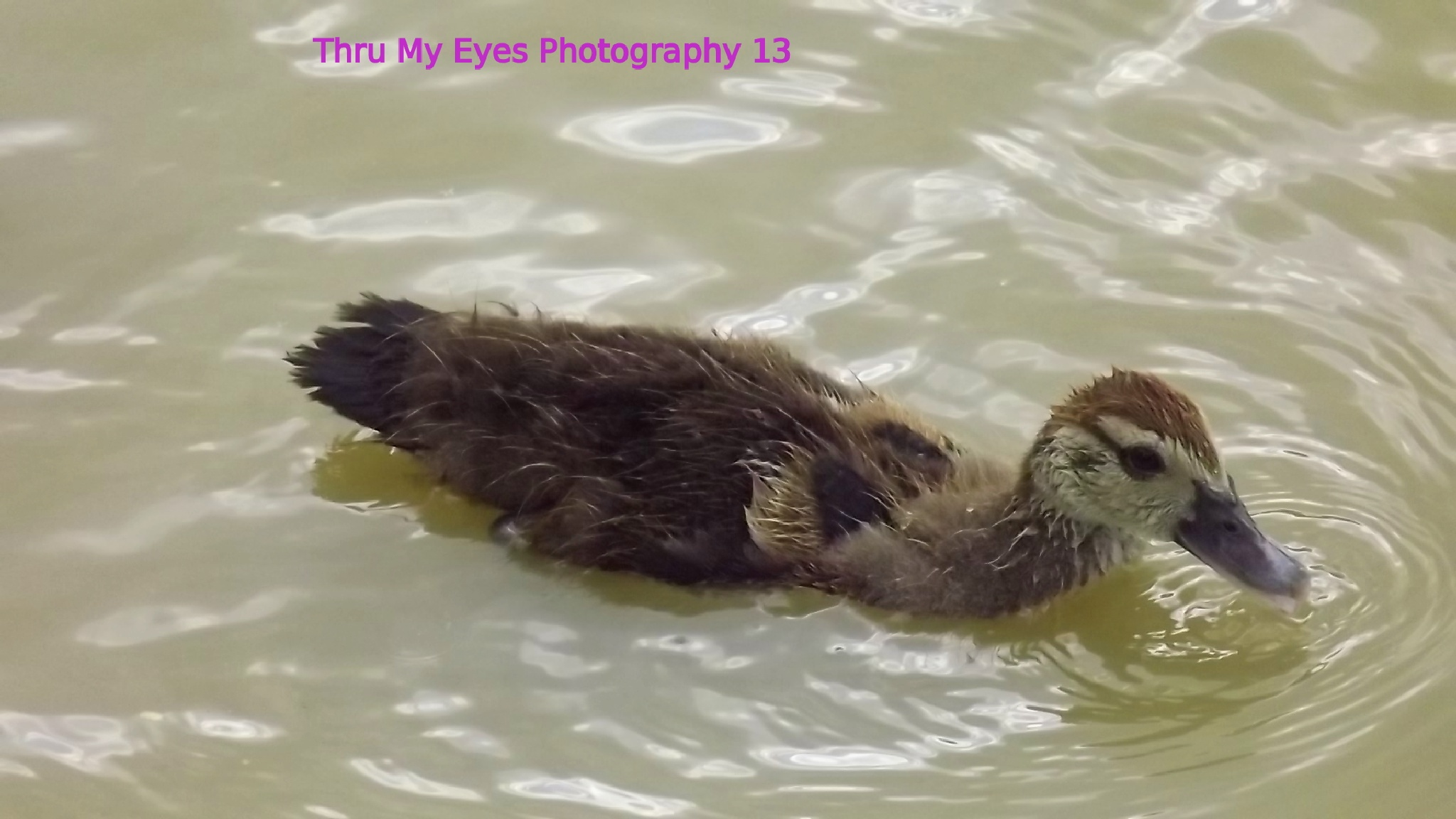 Baby Duck by captain