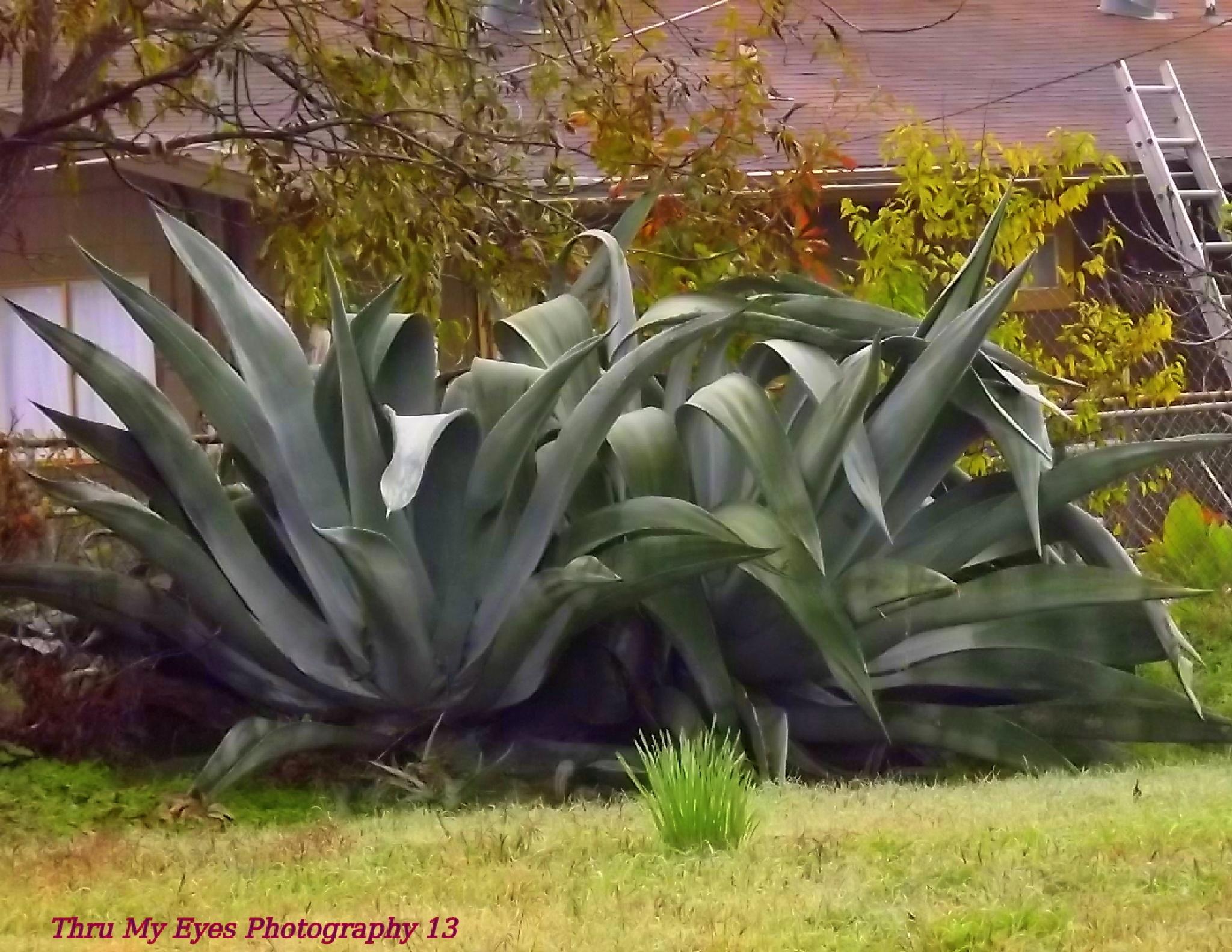 Random Huge Aloe Plant As Tall As A One Story Home by captain