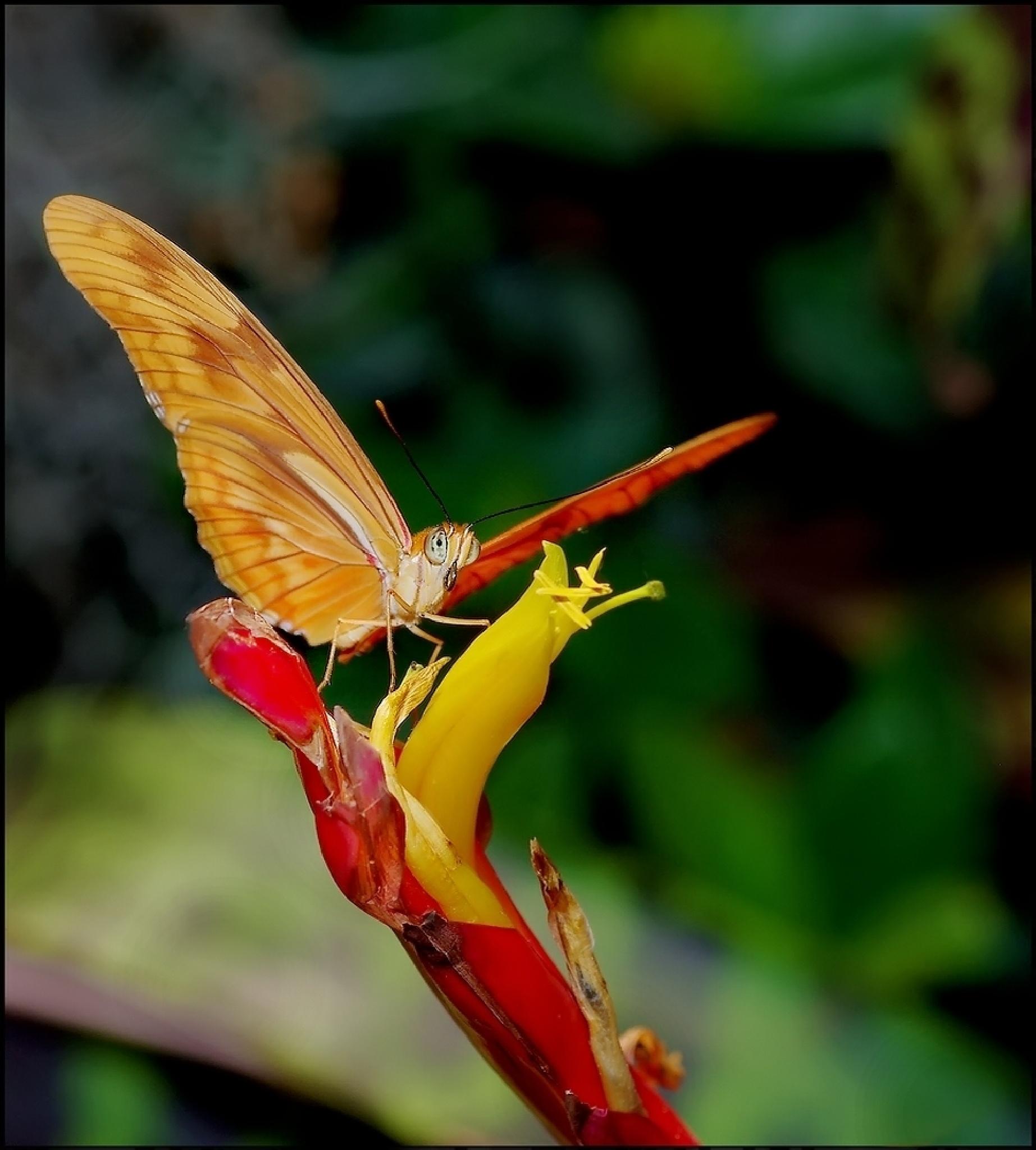 Papillon tropical by Fernand Larochelle