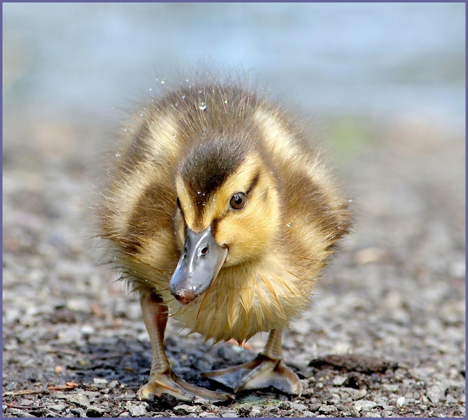 Photo in Nature #bird #oiseau #caneton #faune #nature #random #yellow #duck