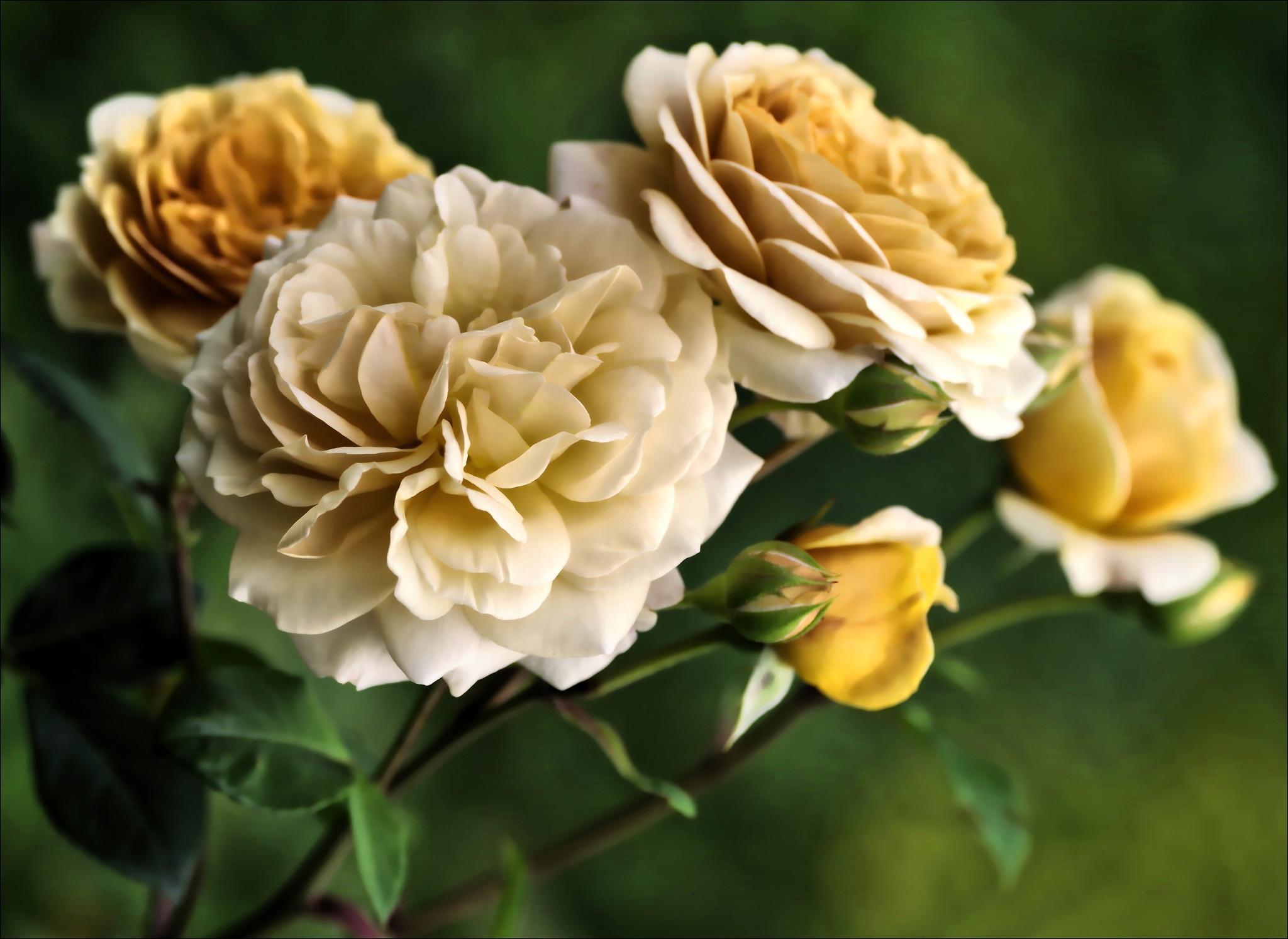 Roses de jardin by Fernand Larochelle