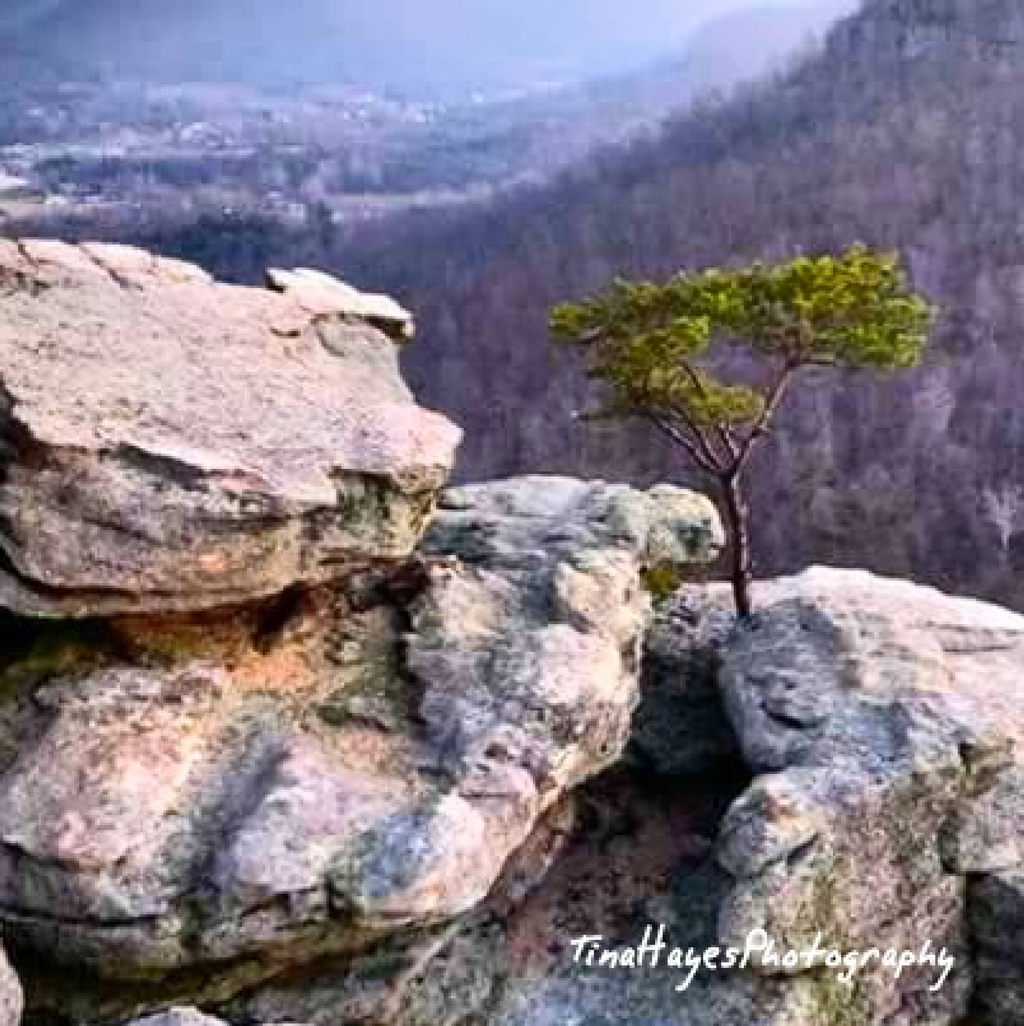 Lone Pine by Tina Hayes