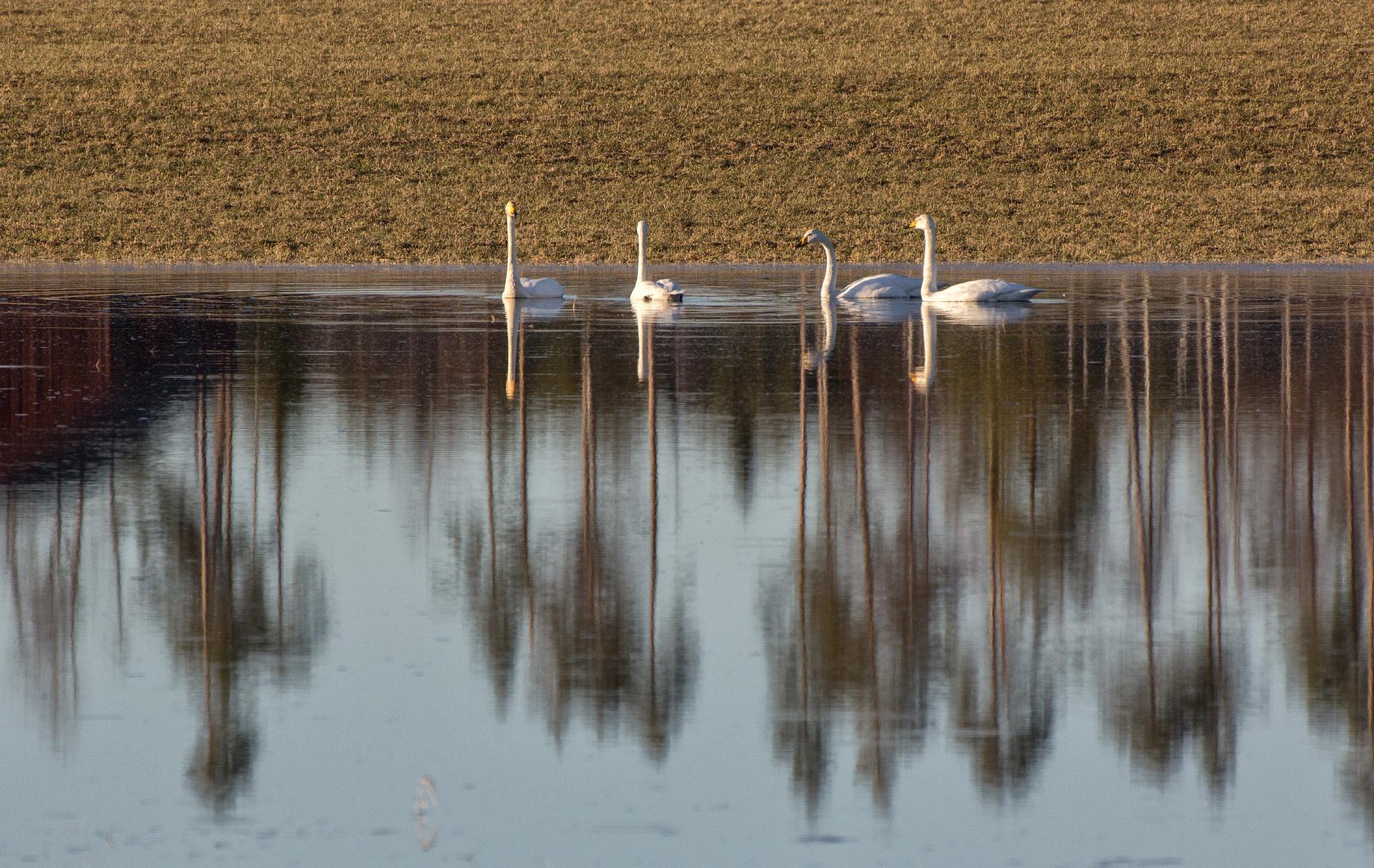 Swan Lake by Anders Hedlund
