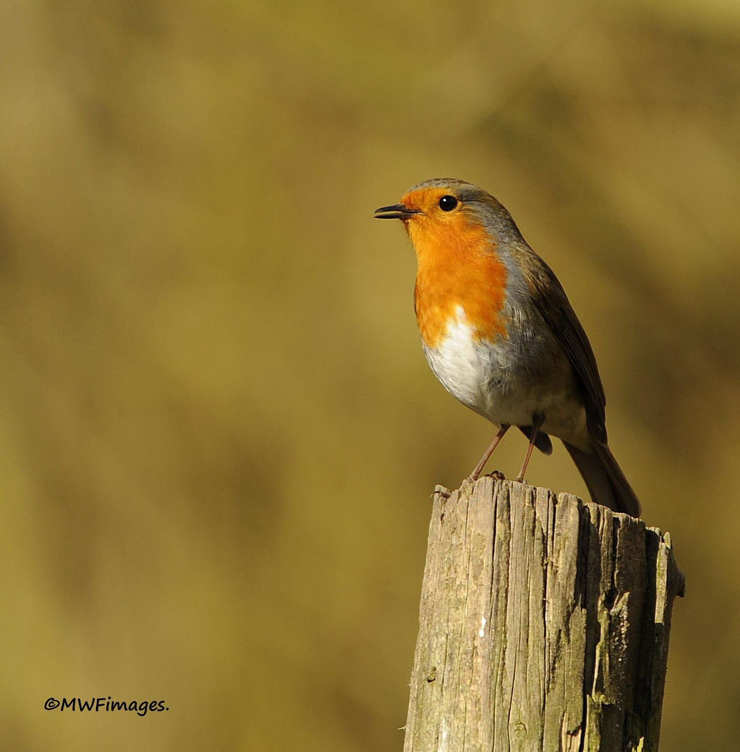 Robin in song by martinfairbairn178