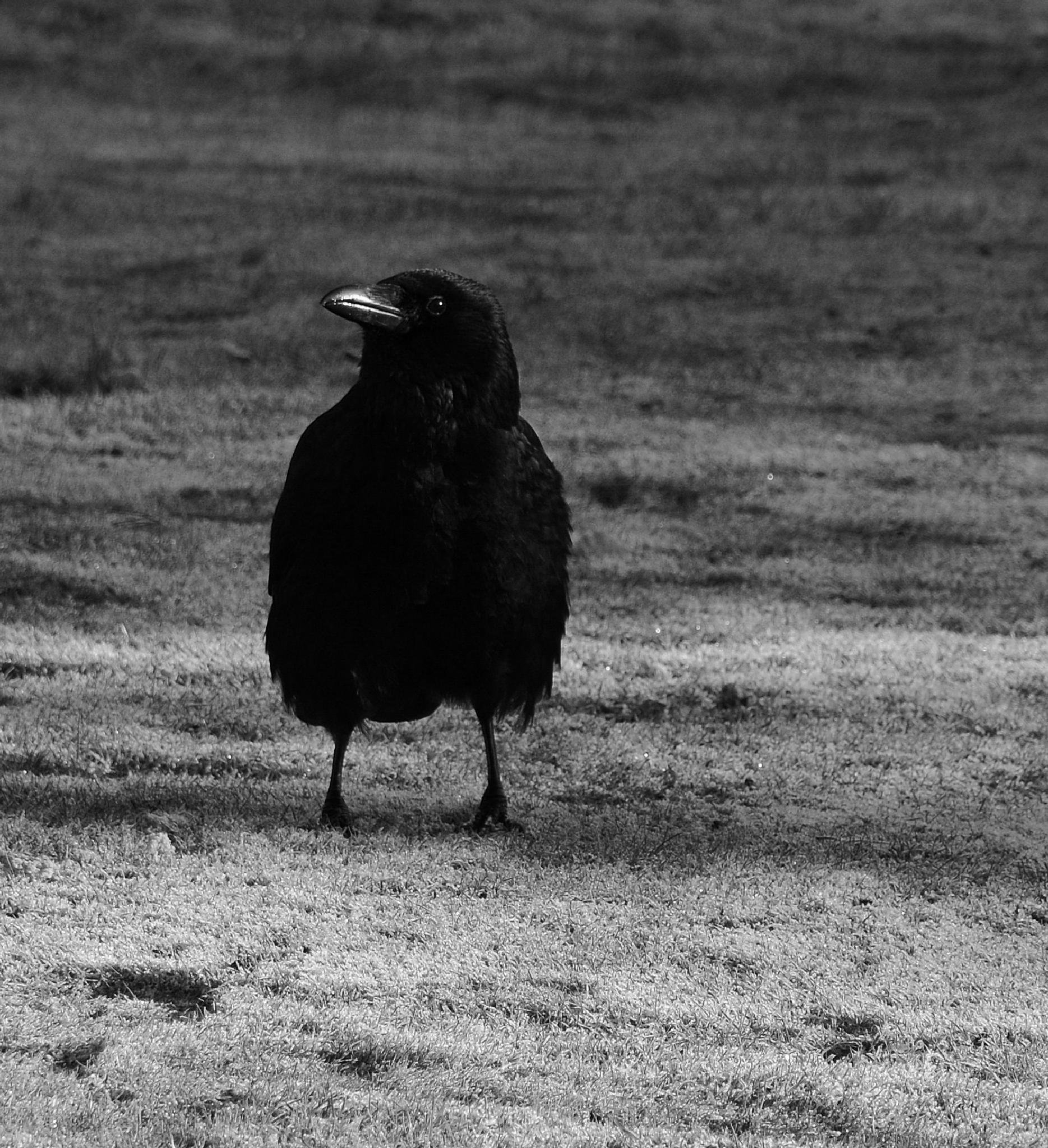 The Crow by martinfairbairn178