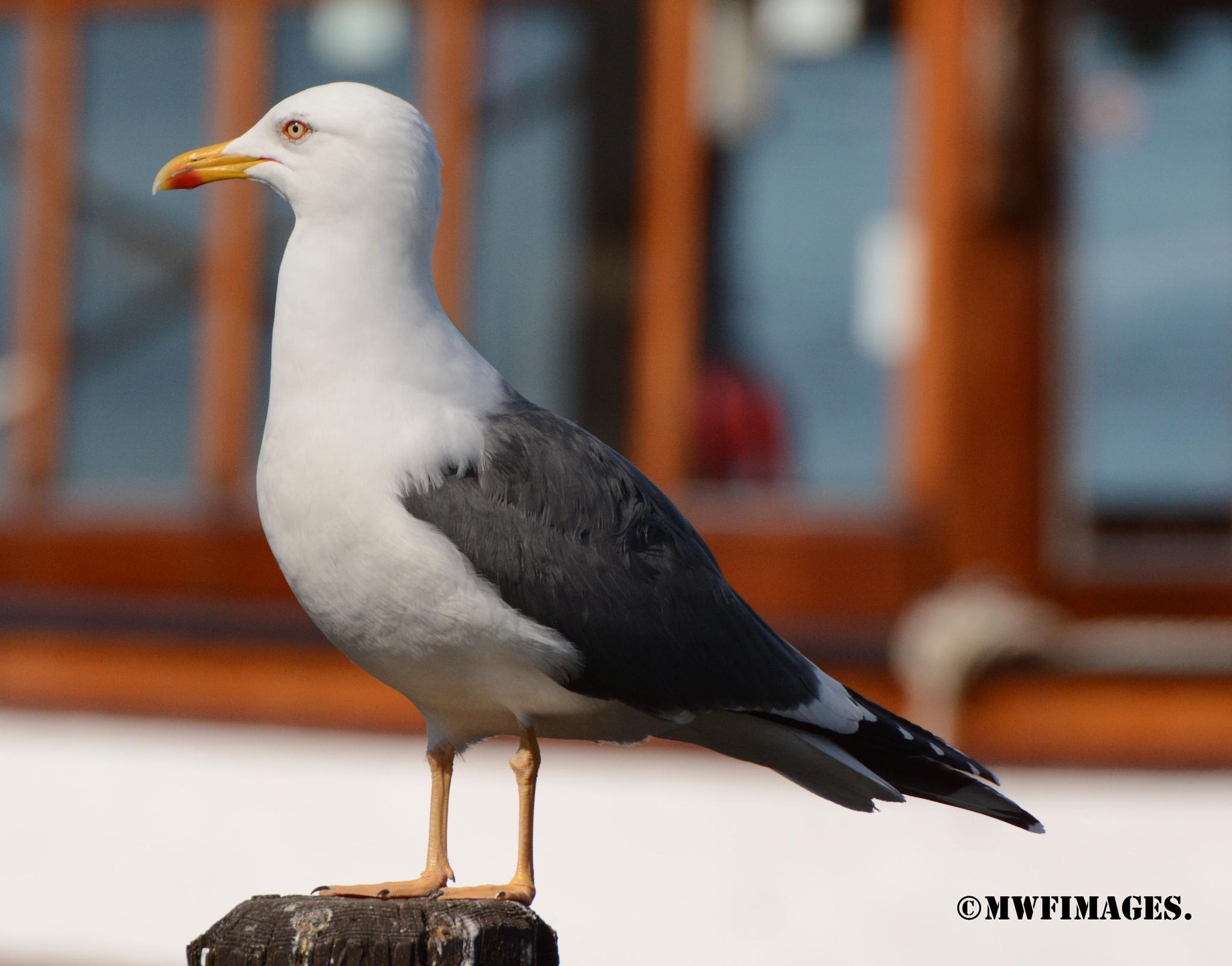 Herring Gull by martinfairbairn178