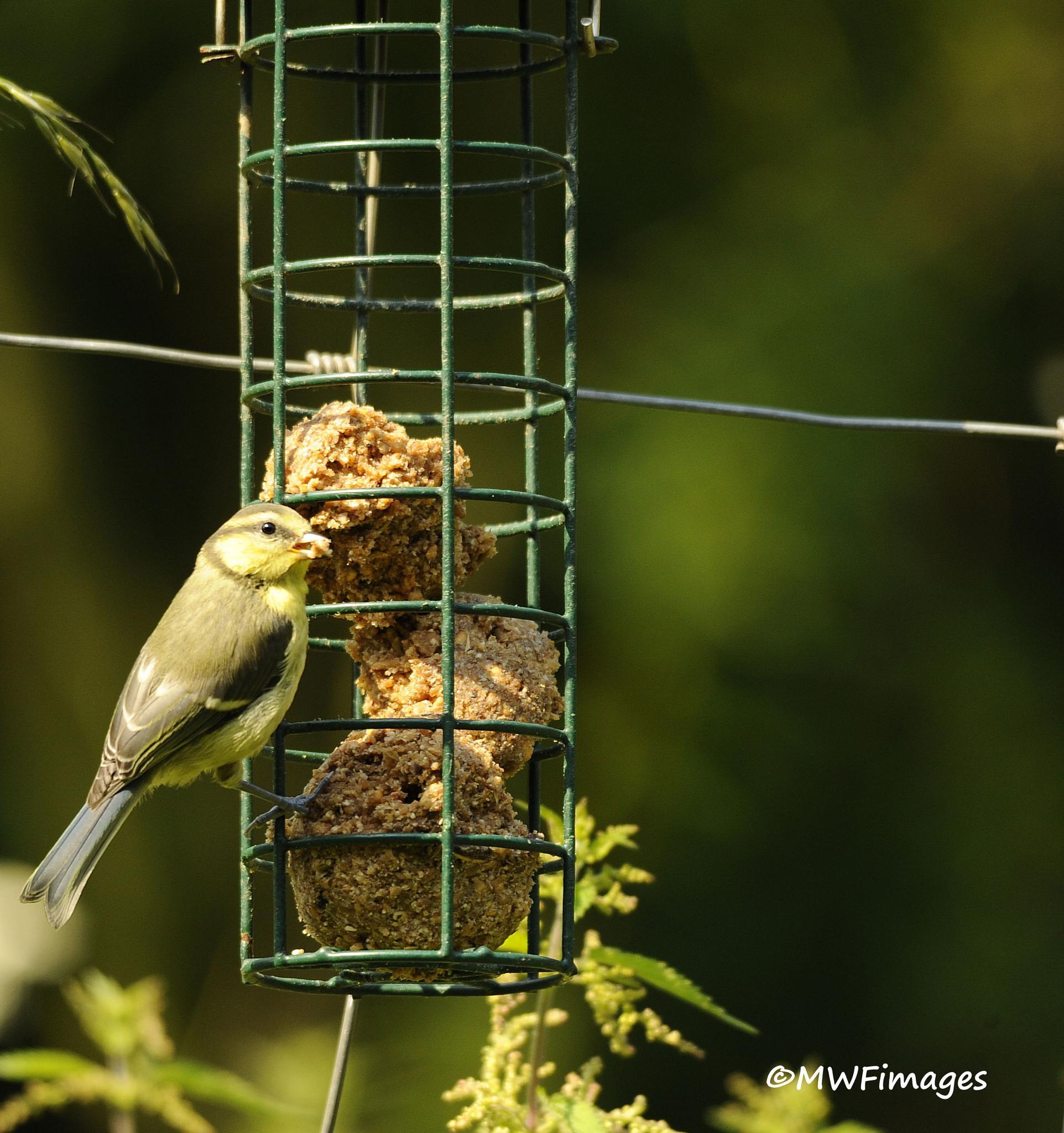 Green Finch by martinfairbairn178