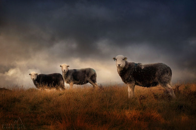 Herdwick treo by PaulBullenLandscapes