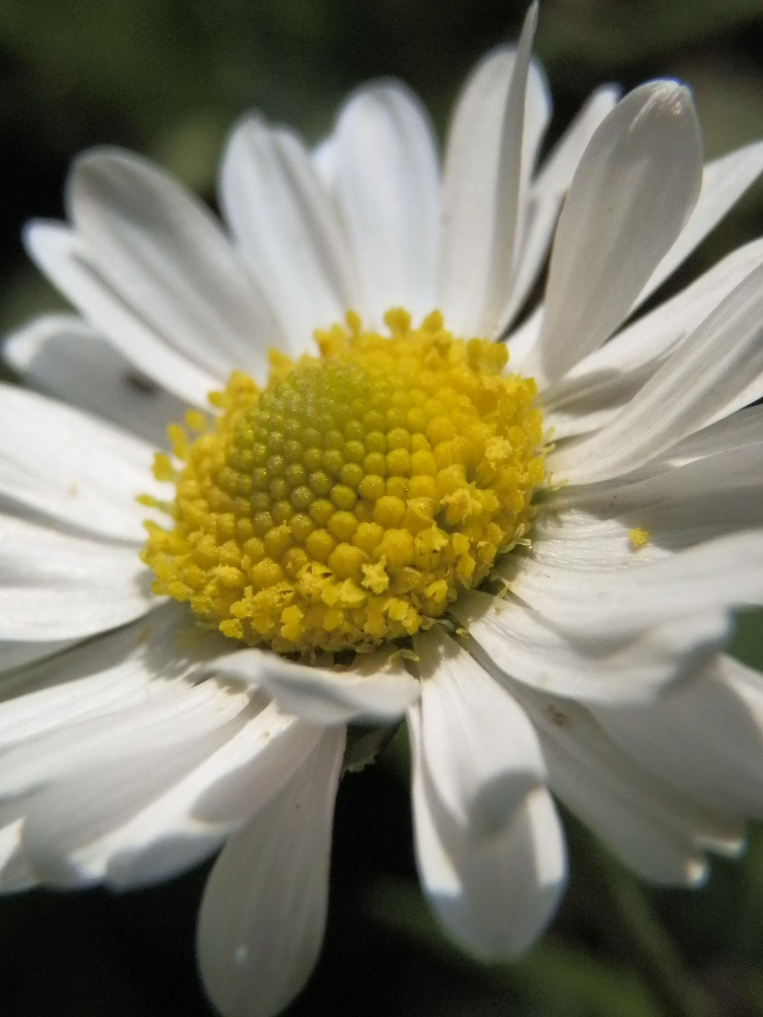 Daisy by photoSophy1990