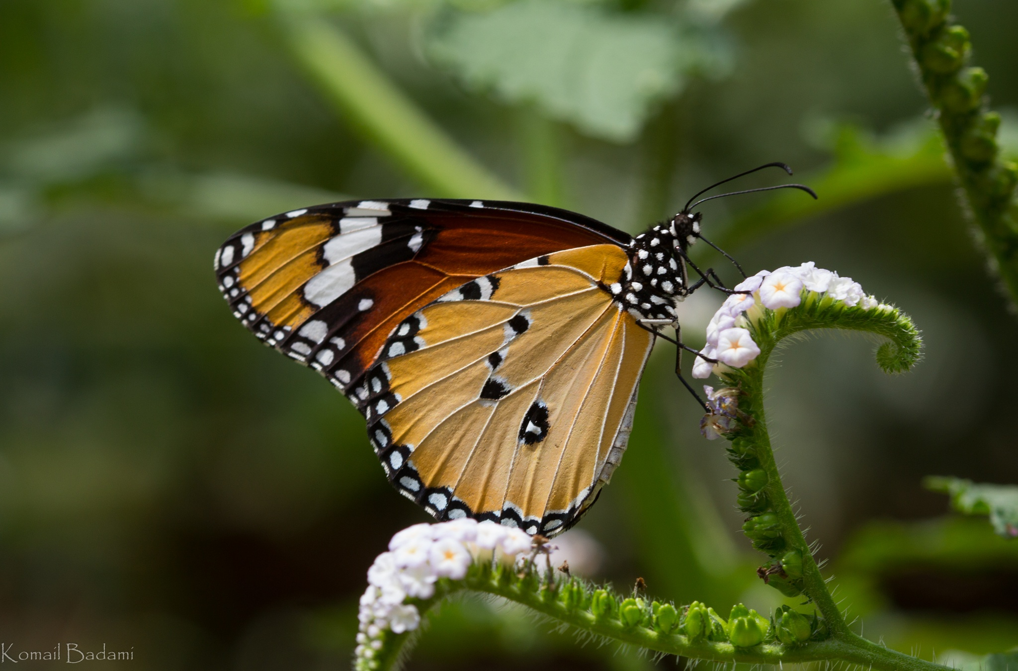Common Tiger Butterfly by Komail Badami