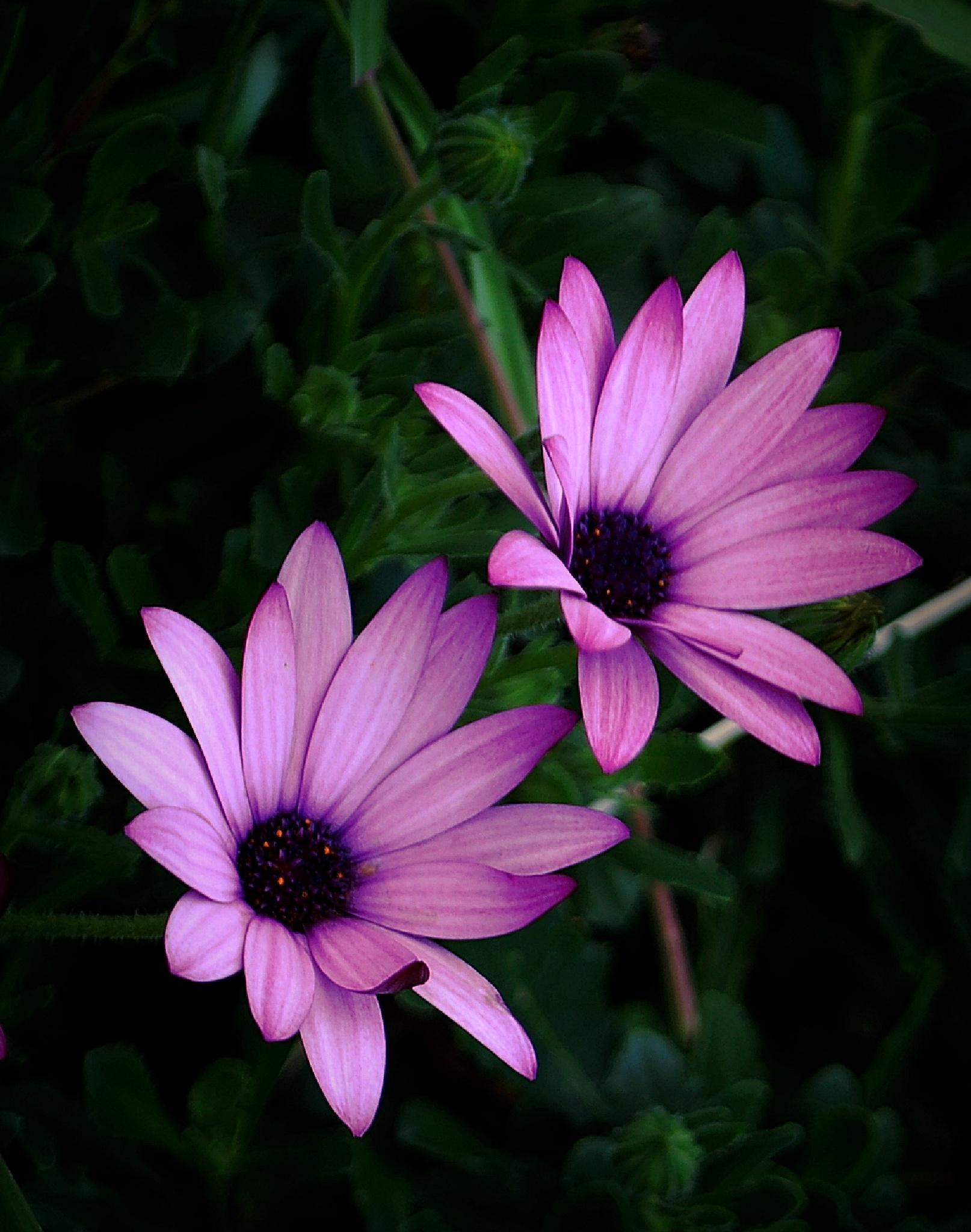 Lilac by ShanthyWijay