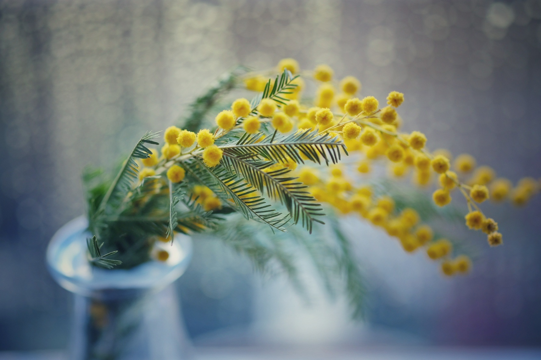 Photo in Still Life #flowers #spring #yellow #amarillas #mimosas #pollen #bottle