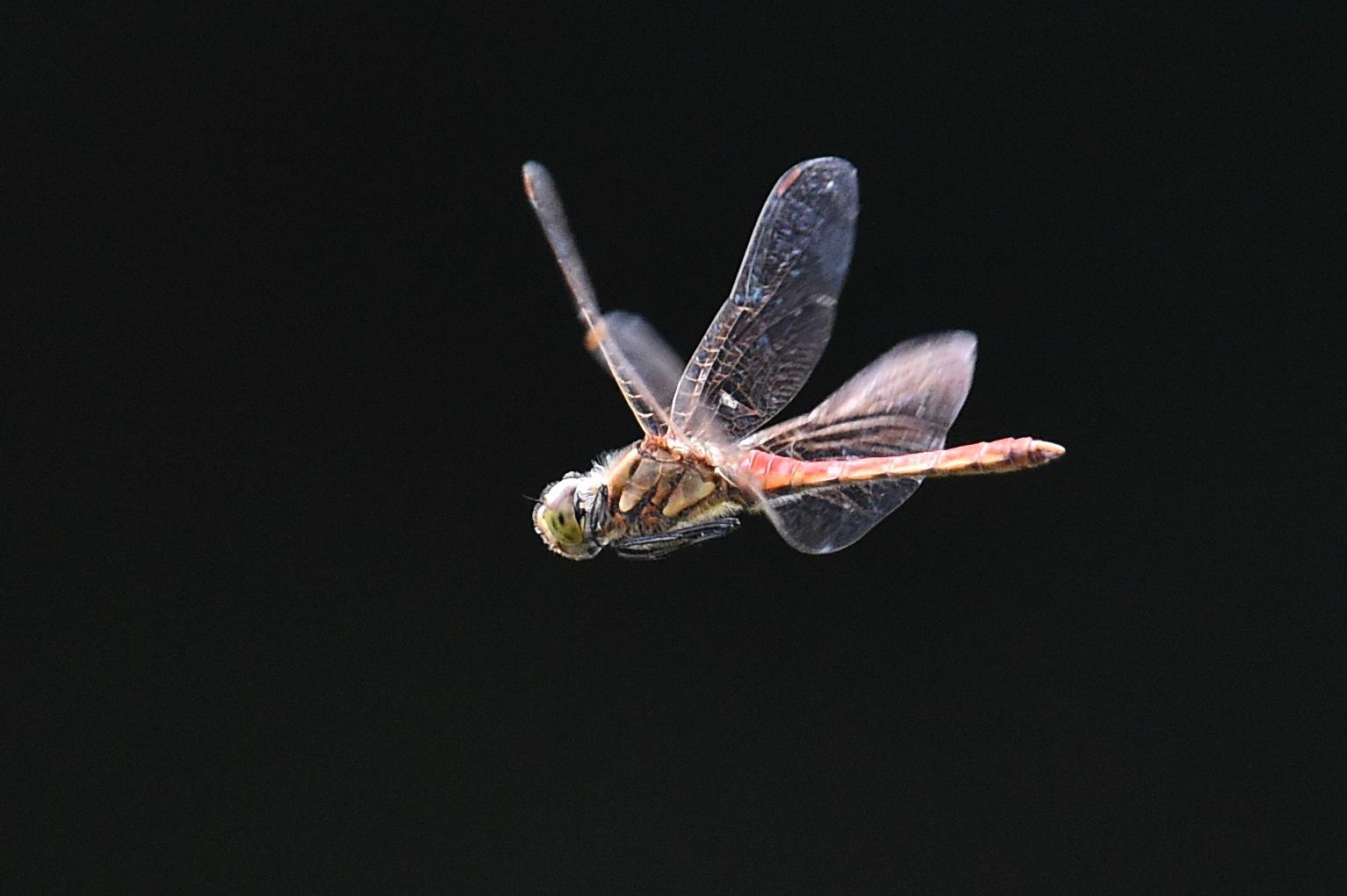 蜻蛉・・・ホバリング by HikokatsuU