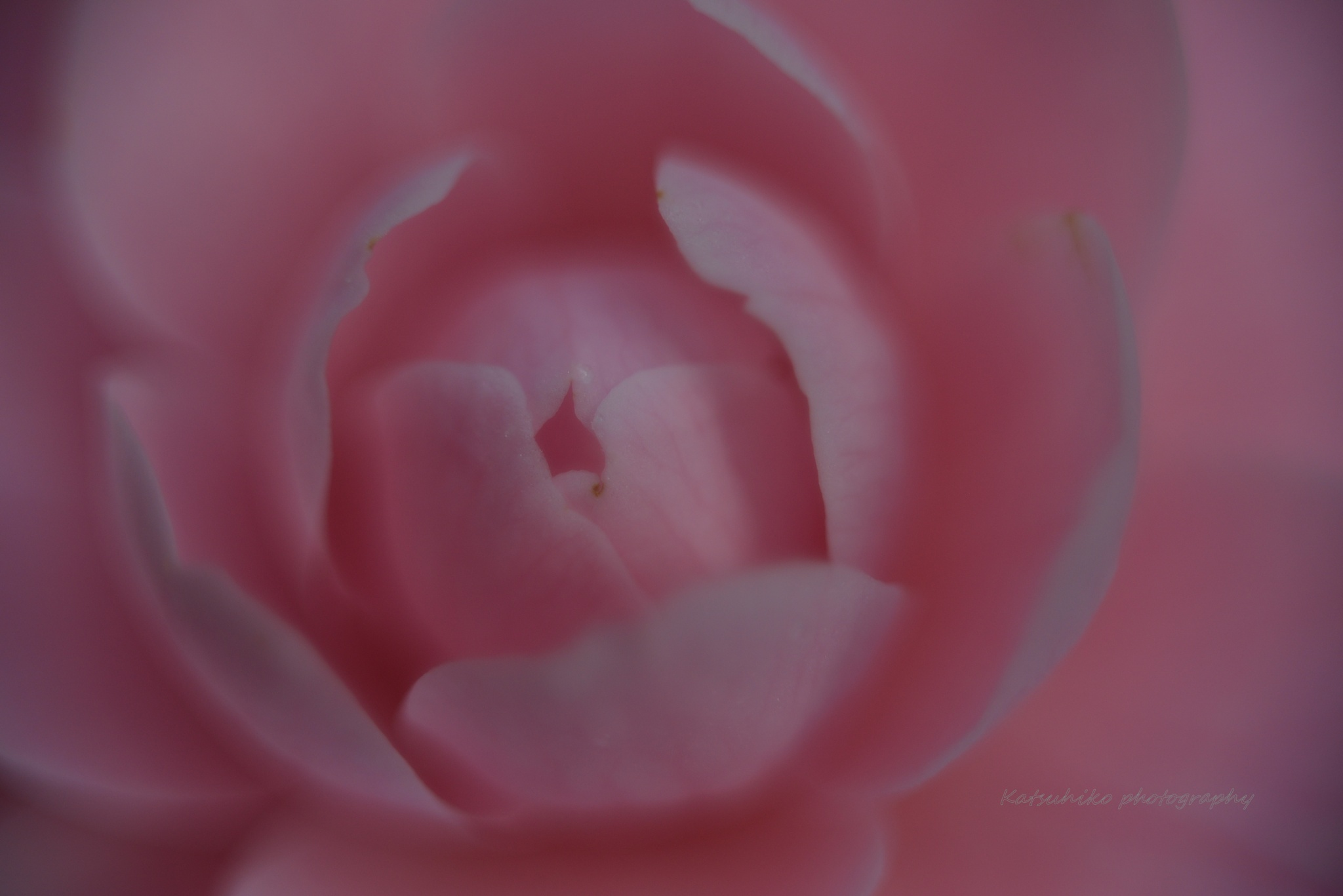 Photo in Macro #old lens #close-up #flower