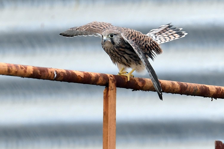 チョウゲンボウ・・・幼鳥、オットッと by HikokatsuU