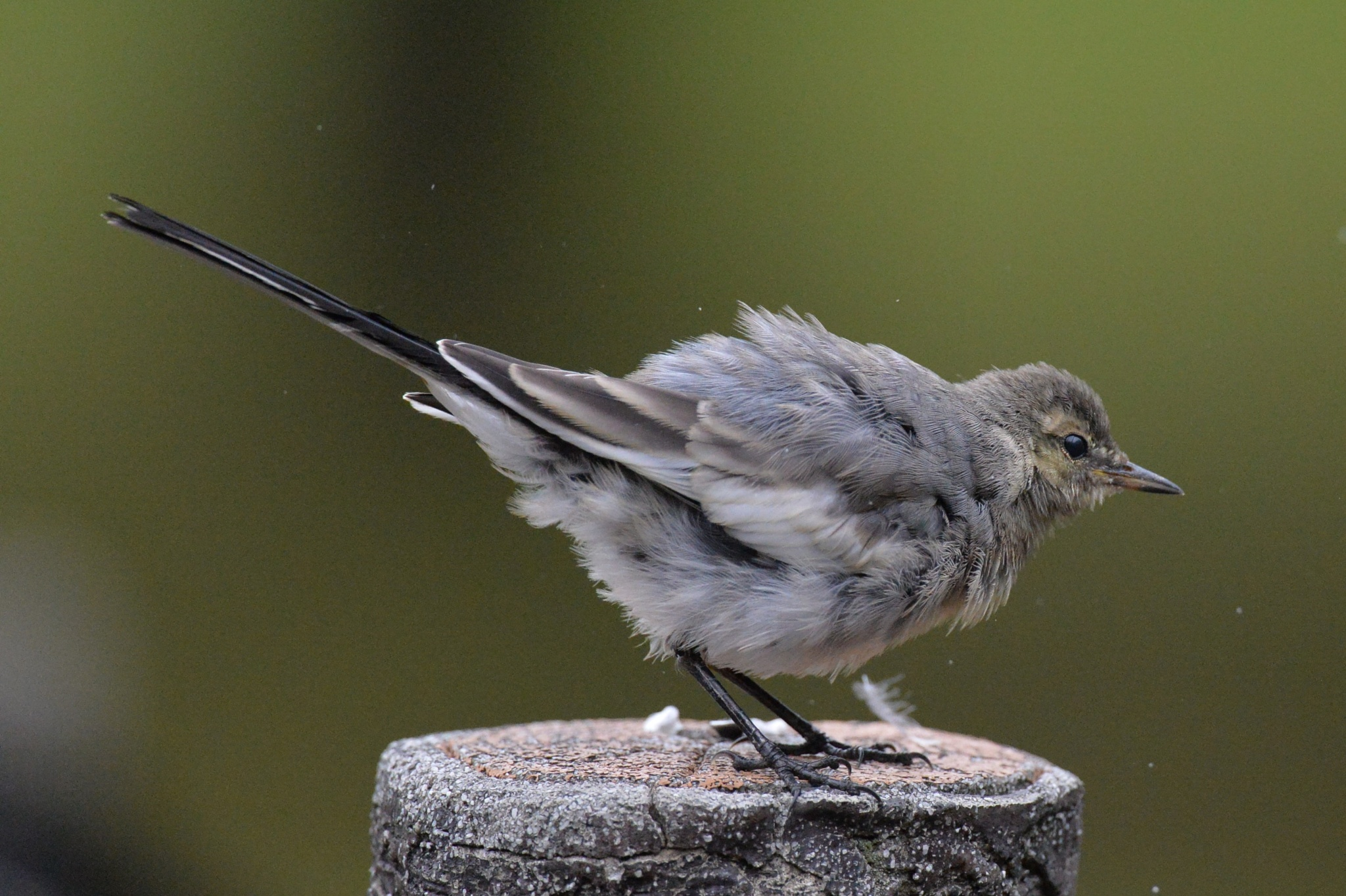 Photo in Nature #japanese pied wagtail #chick #bird #animal