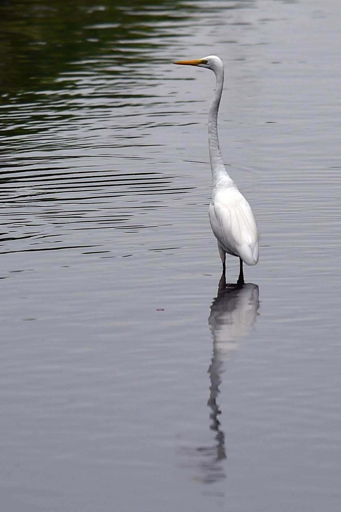 白鷺・・・川に佇む by HikokatsuU