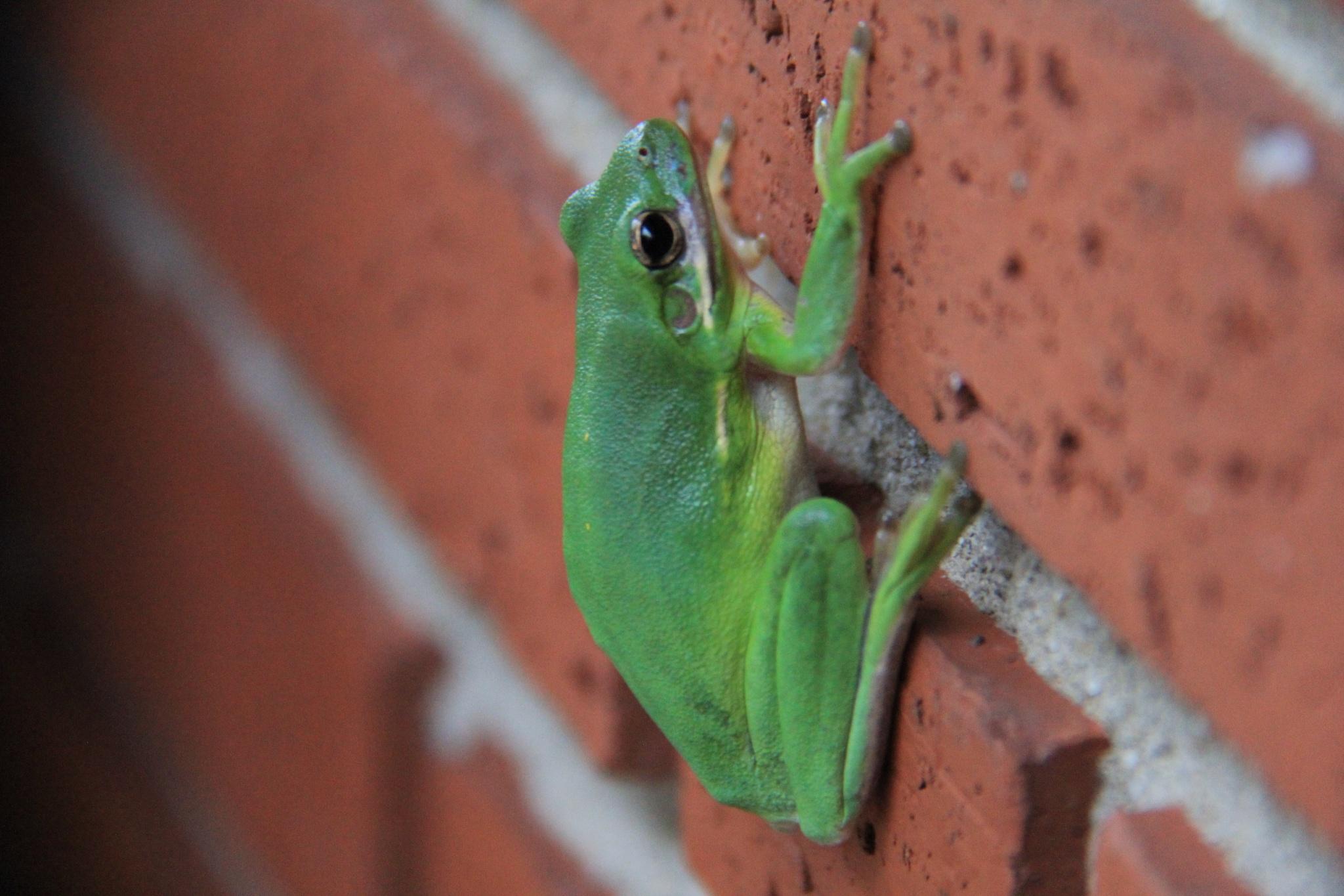 Tree Frog by daniellsmithjr