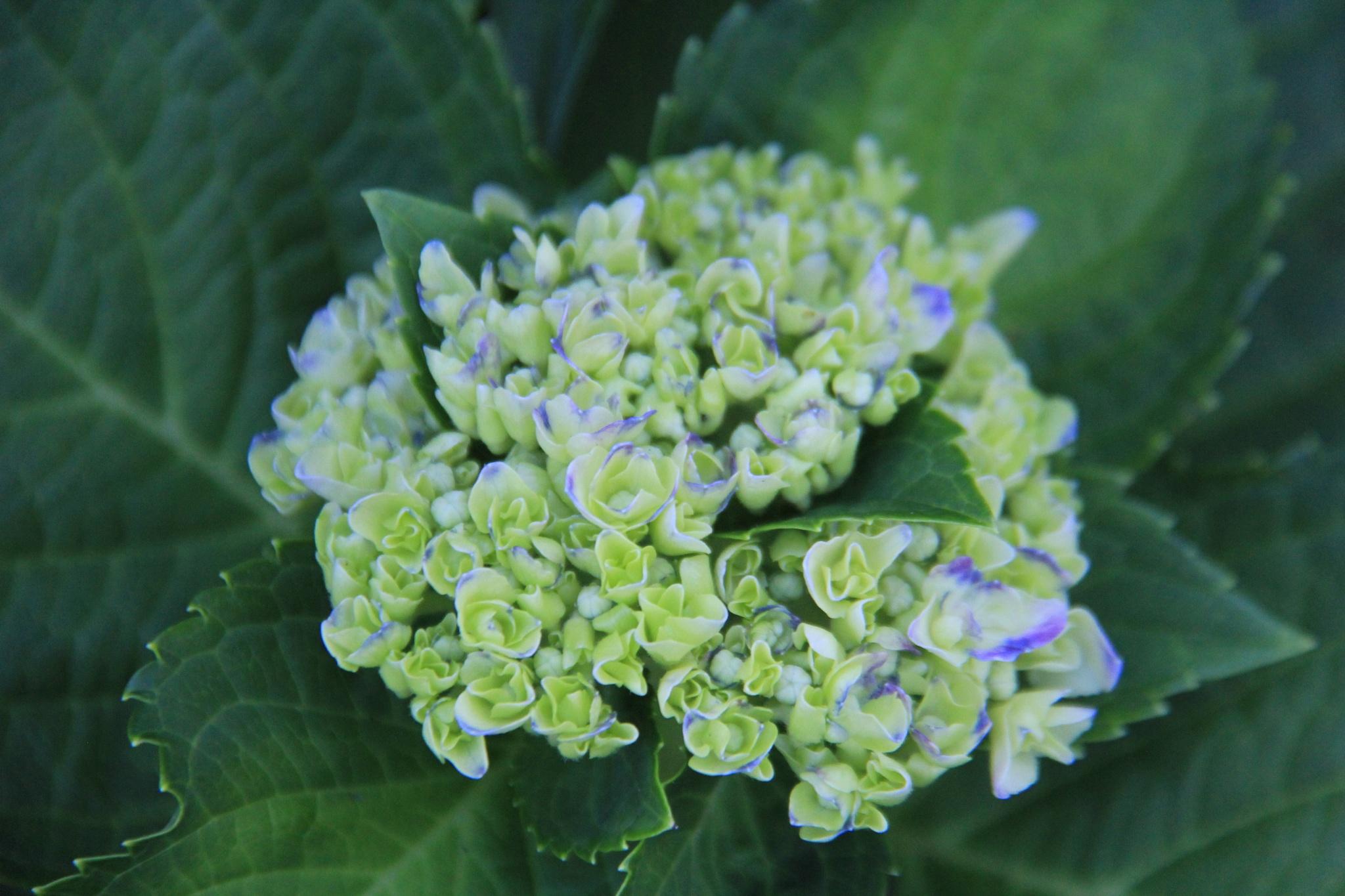 Hydrangea buds by daniellsmithjr