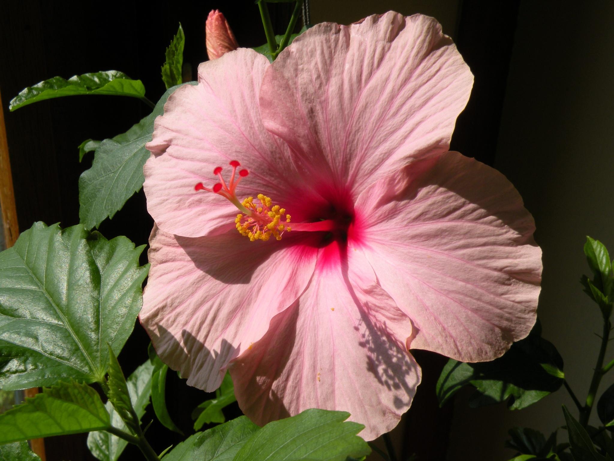 Hibiscus on balcony by ericstir53