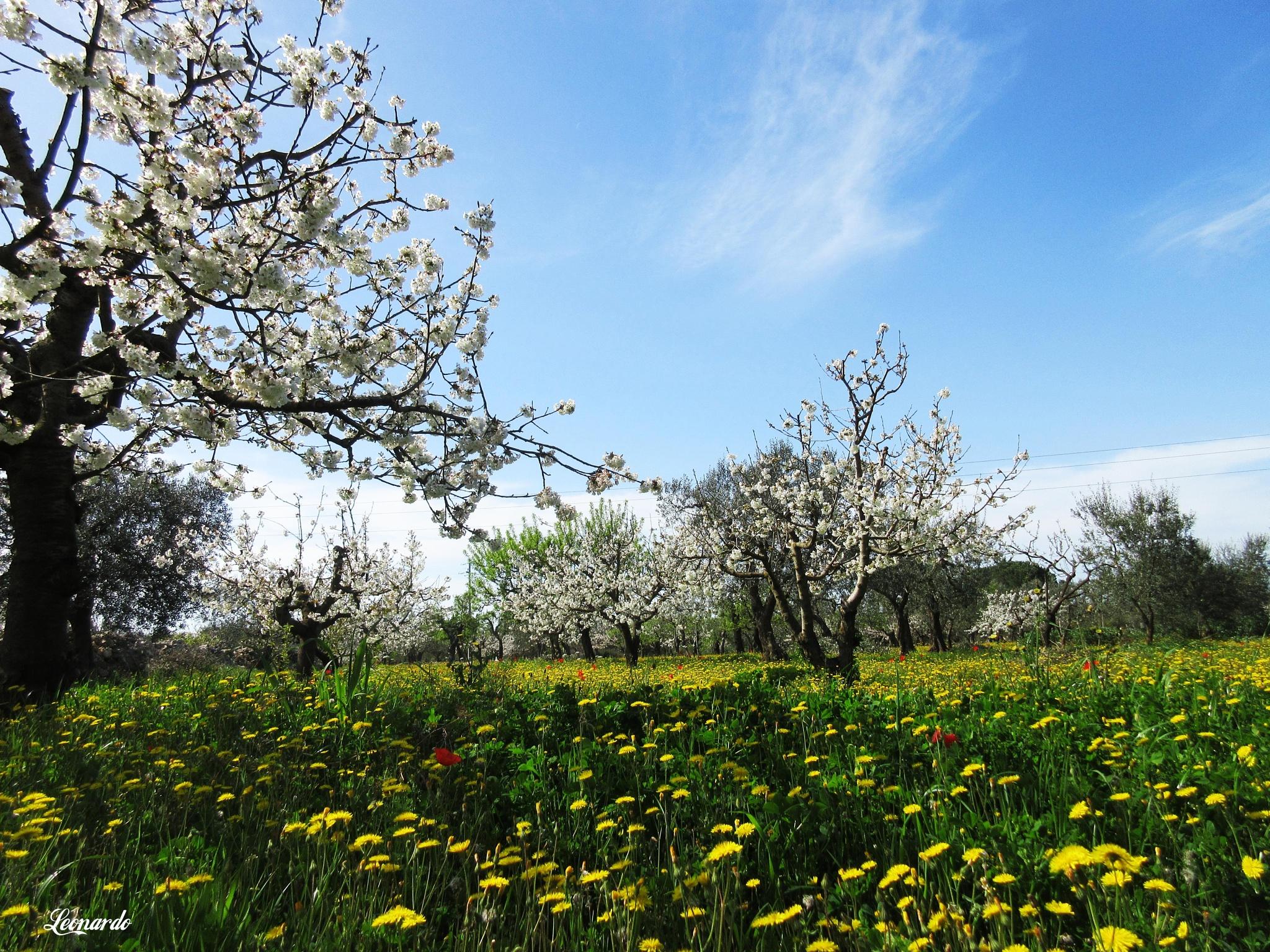 Acquaviva Delle Fonti - cherry trees in bloom by gravinall
