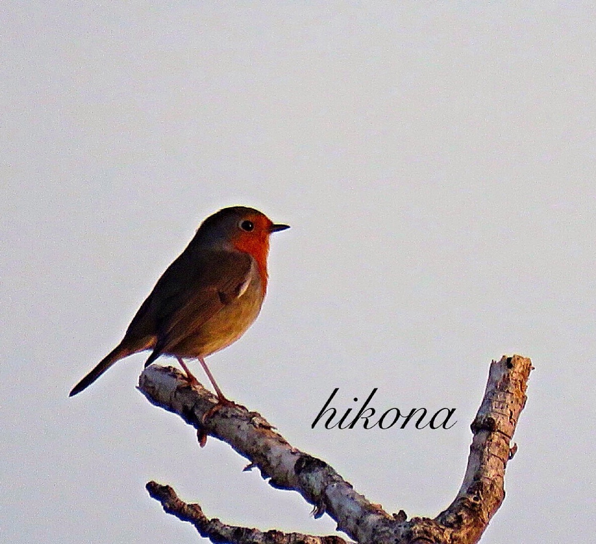 Beautiful bird  by Hikona