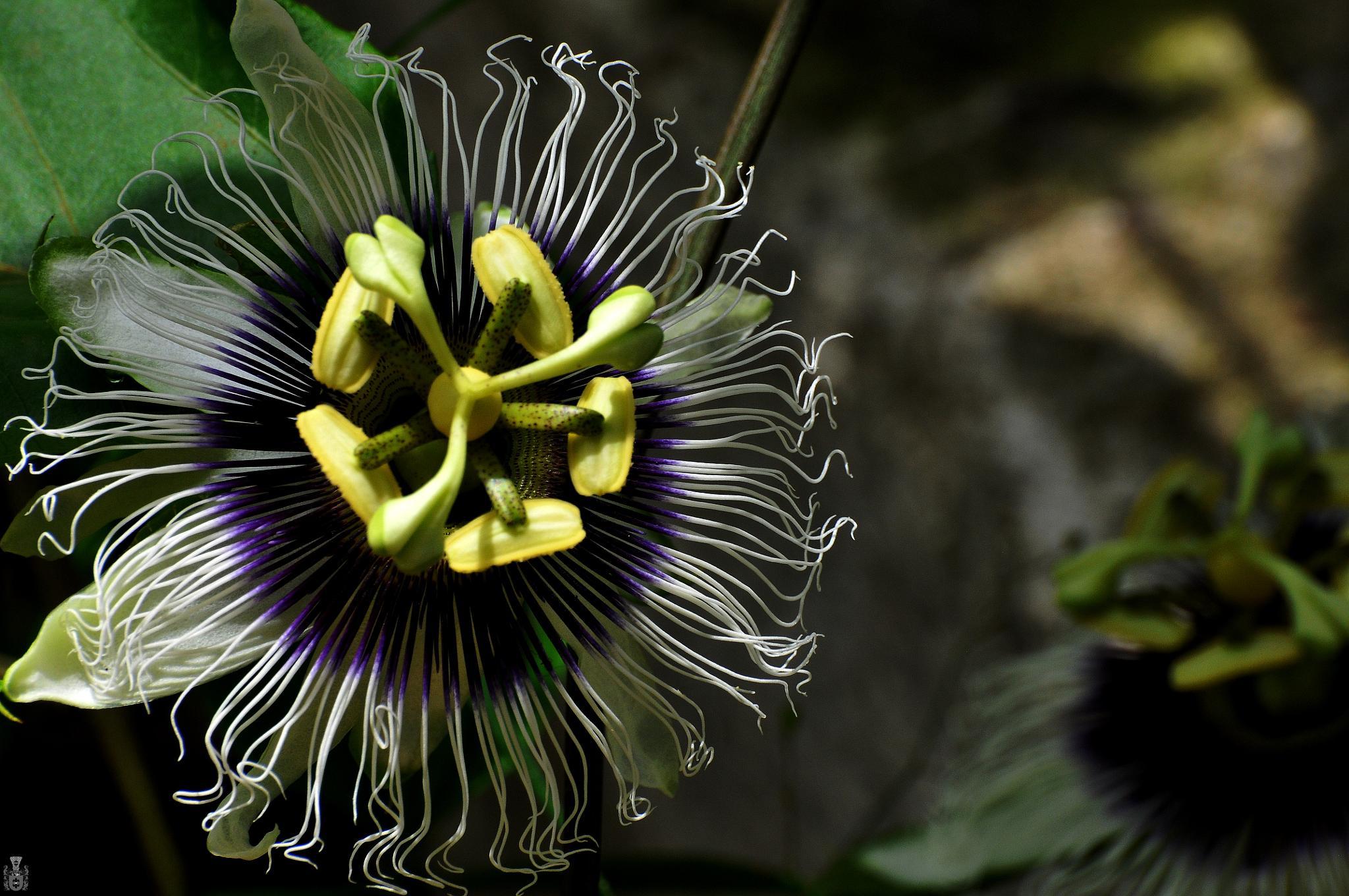 home maracuja flower by pawelreklewski82