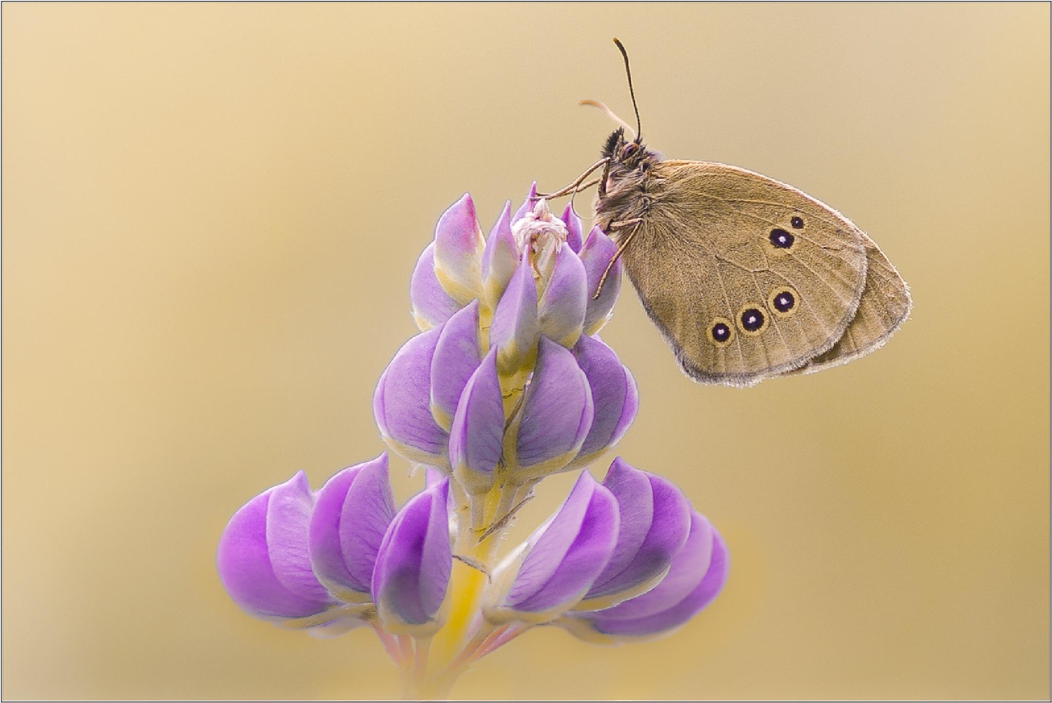 Schmetterlings Makro by Friedrich Beren