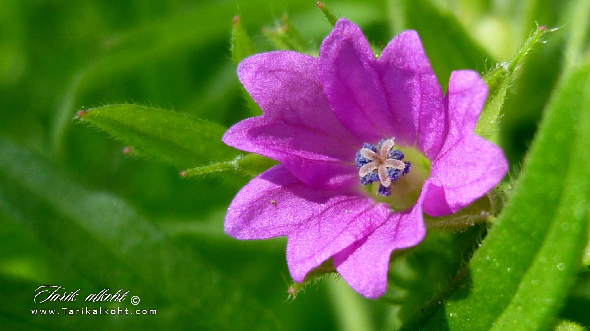 Lilac by Tarikalkoht