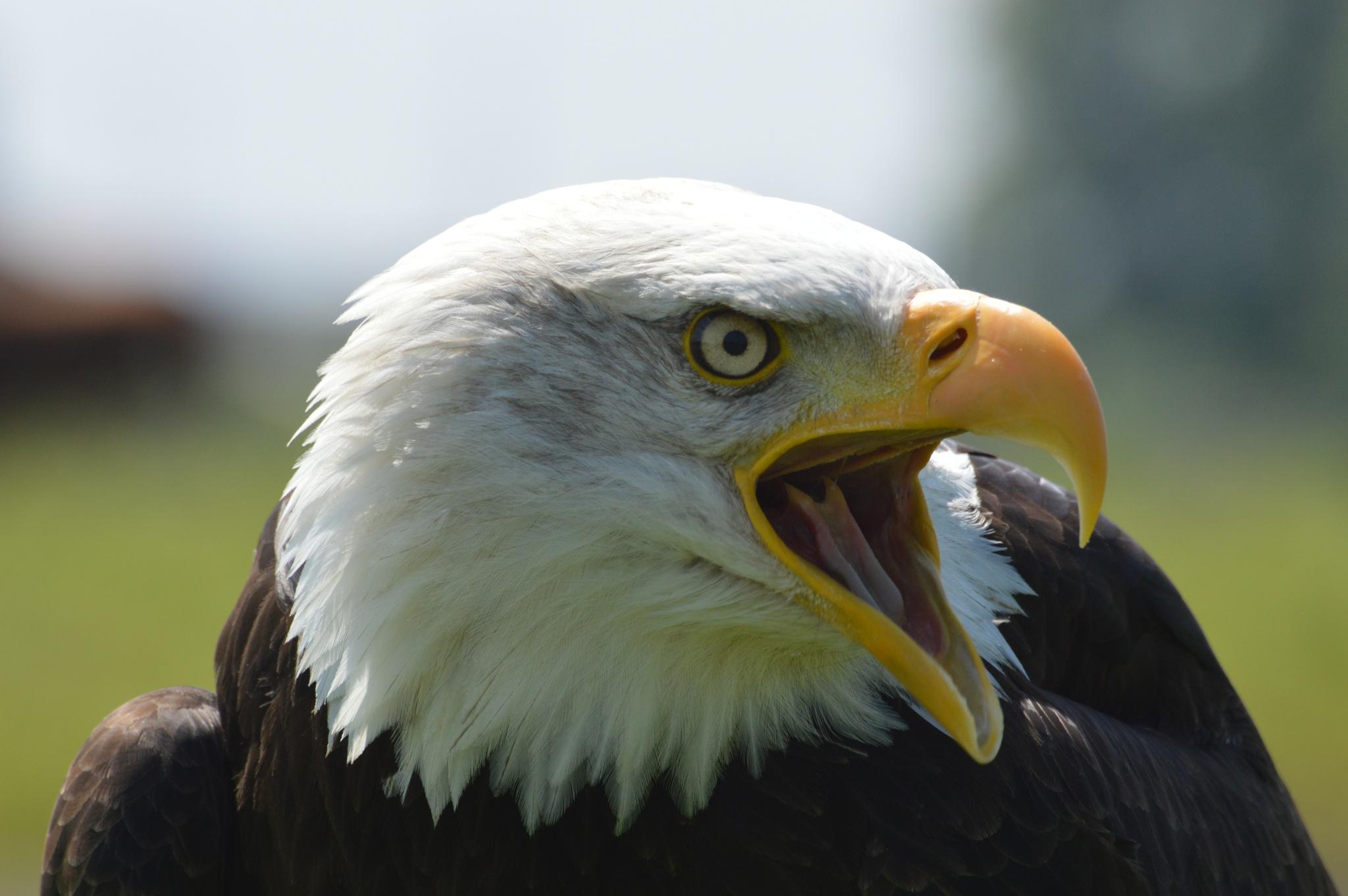 sea eagle by martin vuurpijl