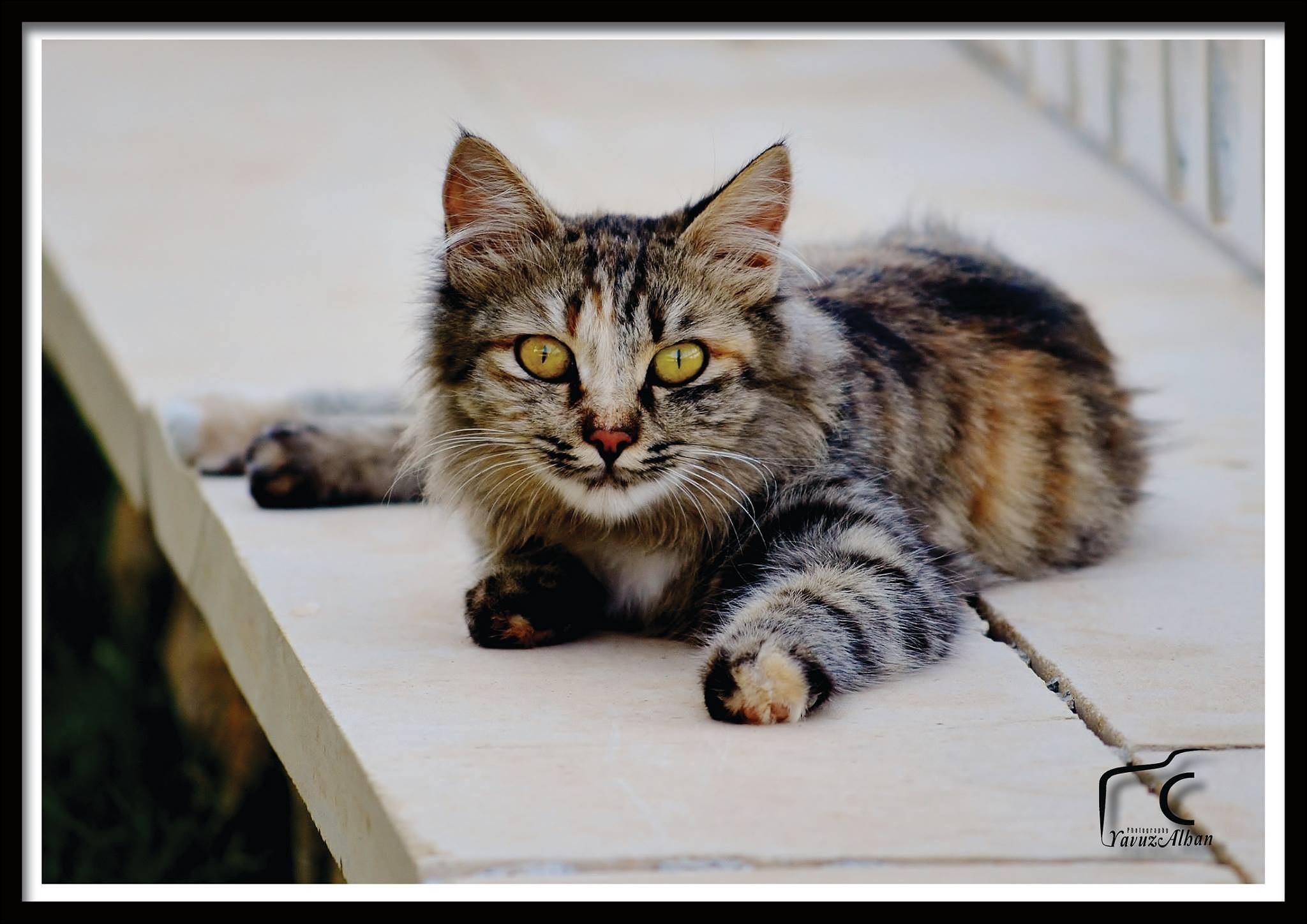 kedi by Yavuz Alhan