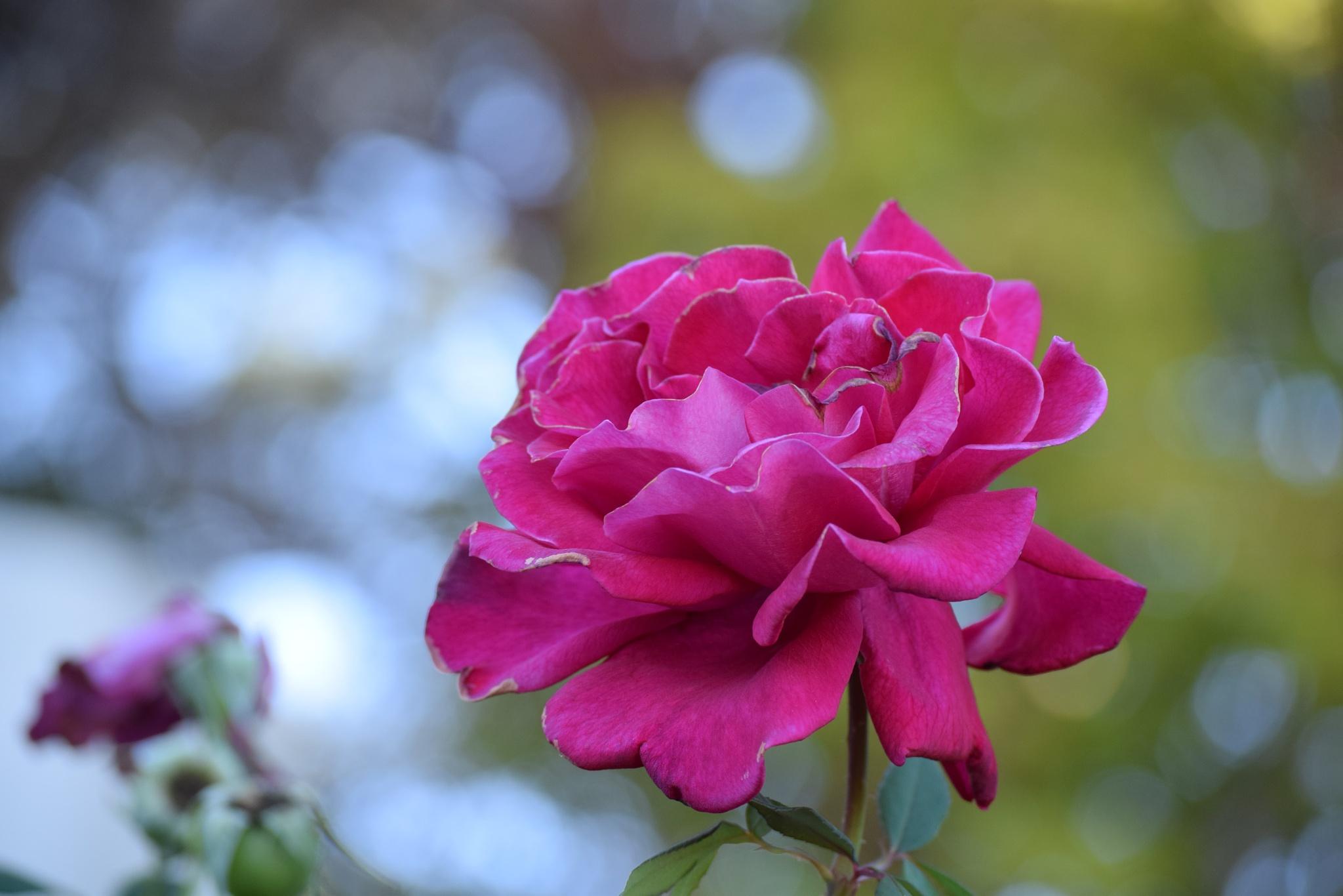 Beautiful Rose by Brandon W