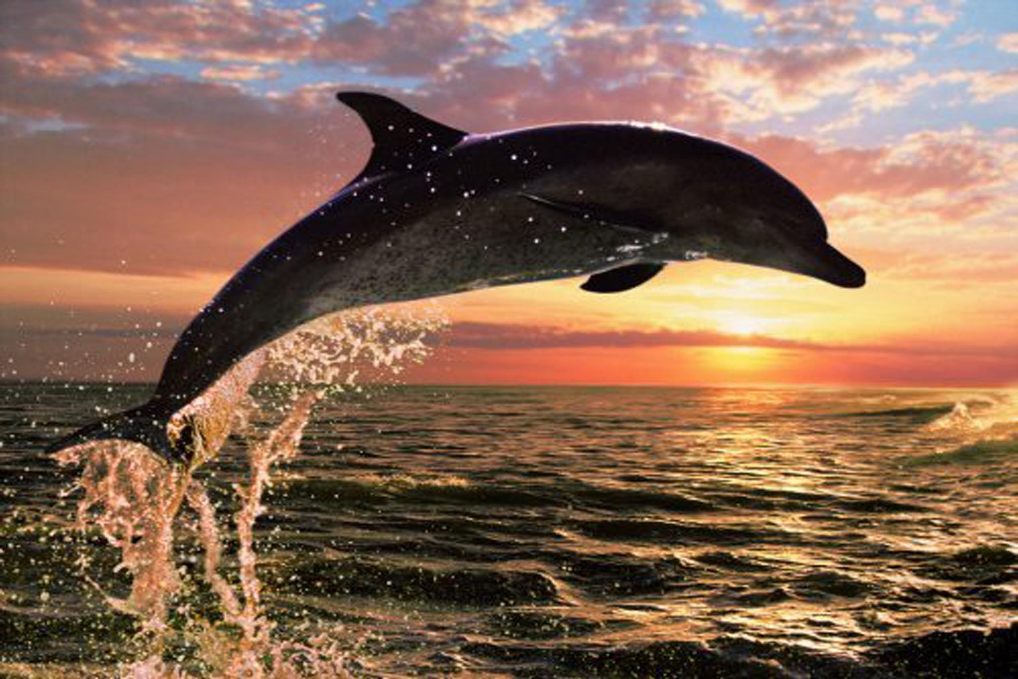 Dolphin Sunset by christiancorbett7