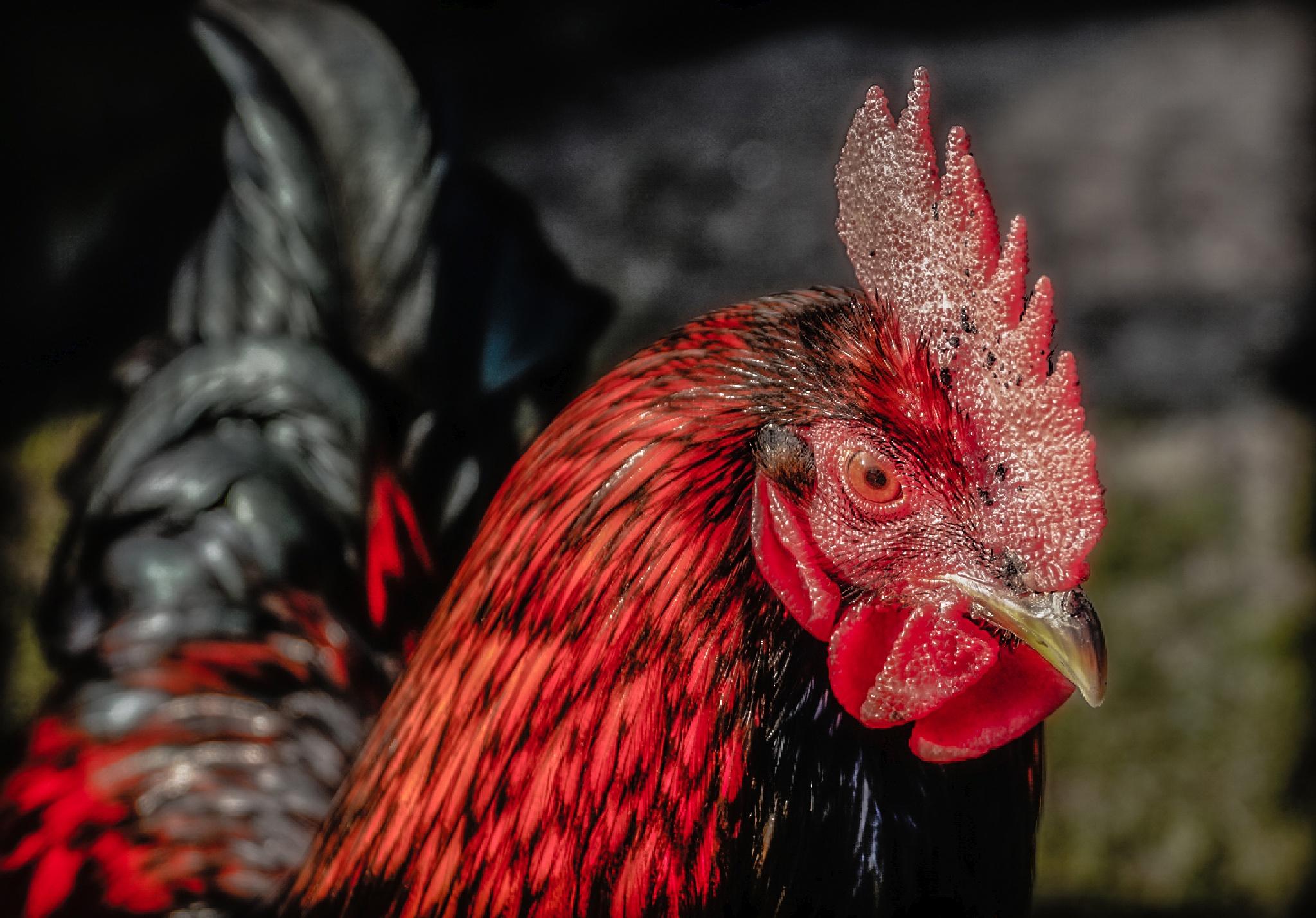 Rooster by Joop Nijhof