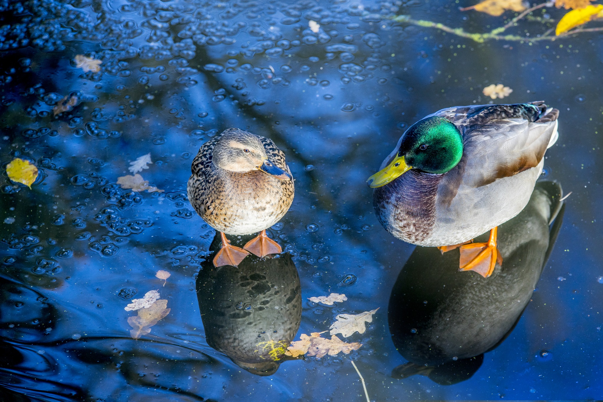 Ducks on Ice by Joop Nijhof