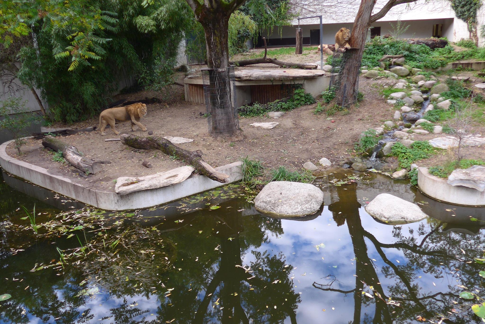Lions in  Wilhelma Zoo by astarot