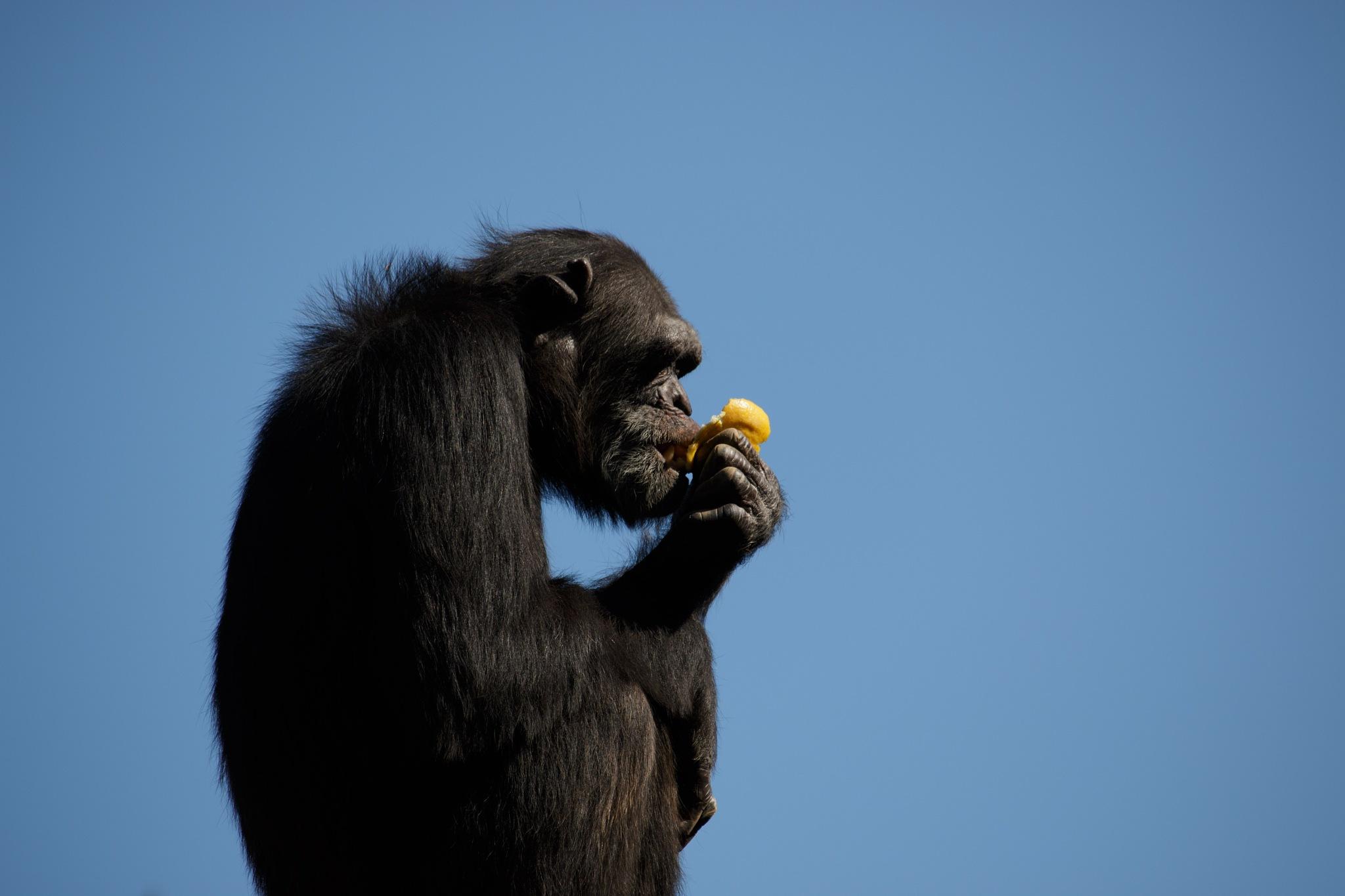 Chimpansee enjoying an orange by Henk de Groot
